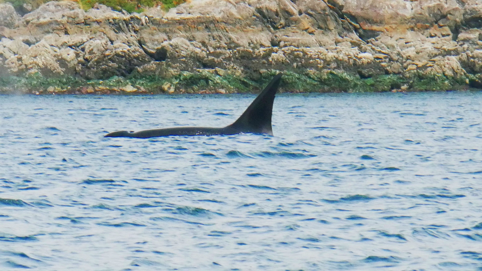 T124C, Cooper. He has a distinct notch about midway down his dorsal fin. Can you see it? Photo by Cheyenne Brewster (10:30).
