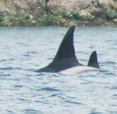 Great-Grandma Wake, or T46. She has two distinct notches; one near the tip, and one near the base. Photo by Cheyenne Brewster (10:30).
