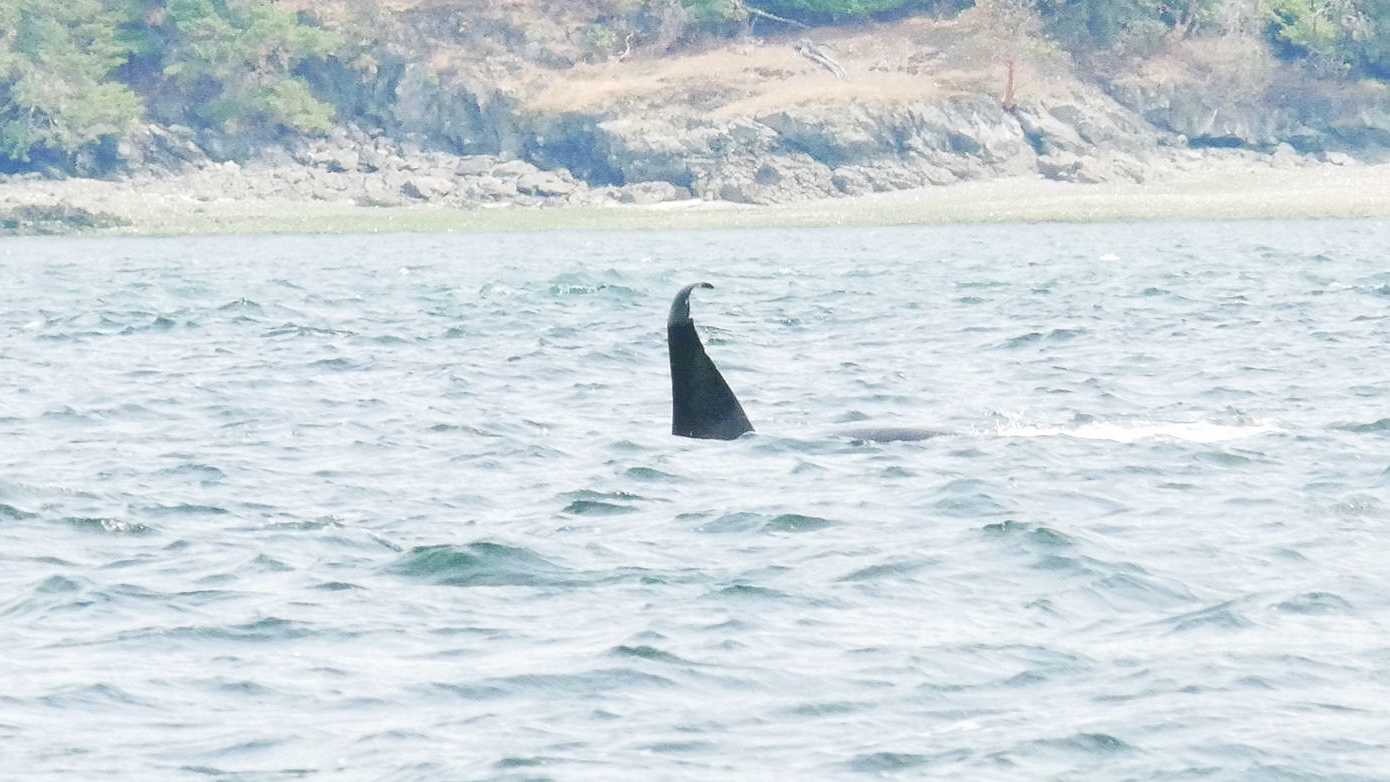 T46D. The tip of his dorsal fin has started to bend over. Photo by Cheyenne Brewster (10:30).
