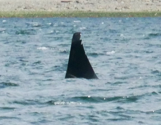 T46D. He has two large notches out of the tip of his dorsal fin, similar to a serrated knife. Photo by Cheyenne Brewster (10:30).