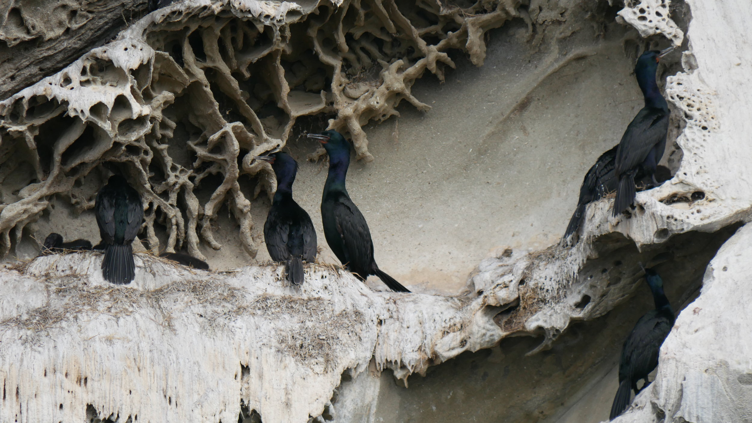 A bunch of Pelagic Cormorants at their nests (chicks can be seen on the far left side). Photo by Val Watson.