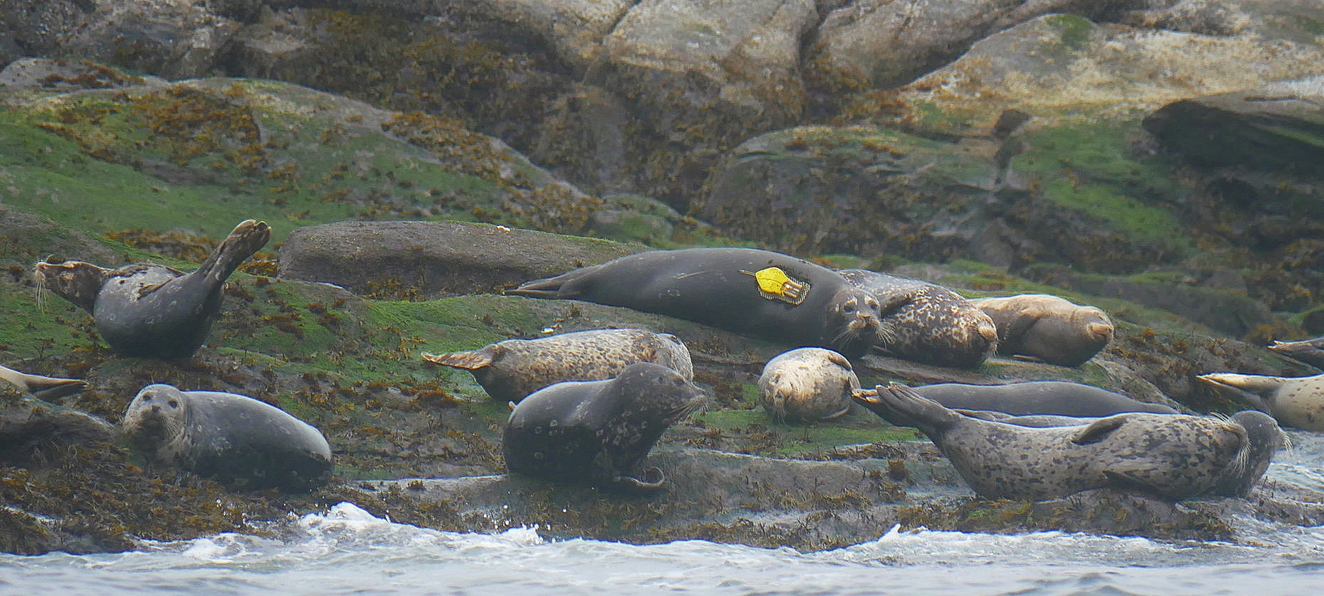 Tagged Seal hanging out on Snake Island! Photo by Cheyenne Brewster. (10:30)