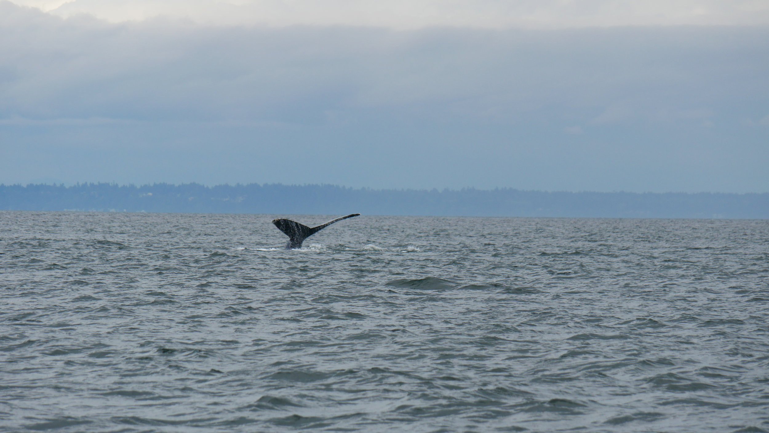 Humpback fluke. Photo by Jilann Lechner Campbell (3:30).