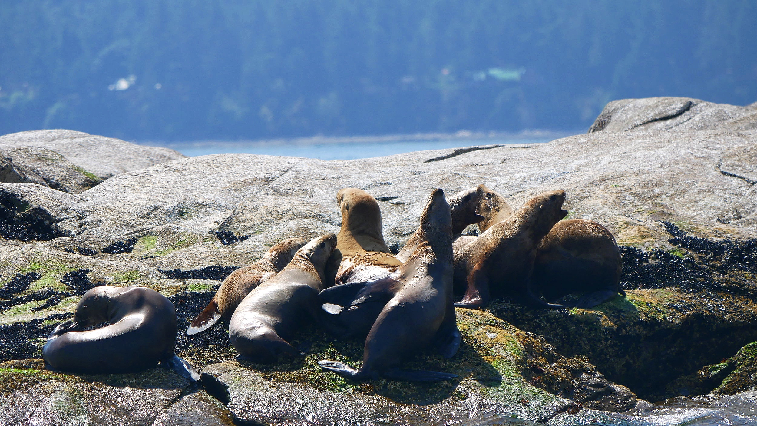 Steller Sea Lions on Entrance Island. Photo by Rebeka Pirker (10.30)