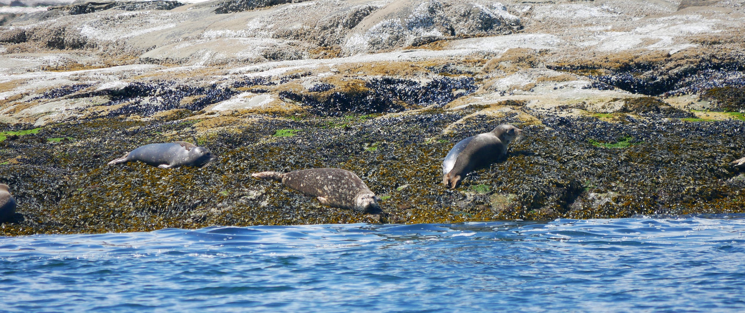 Harbour Seals camouflaging into the rocks! Photo by Rebeka Pirker (10.30)