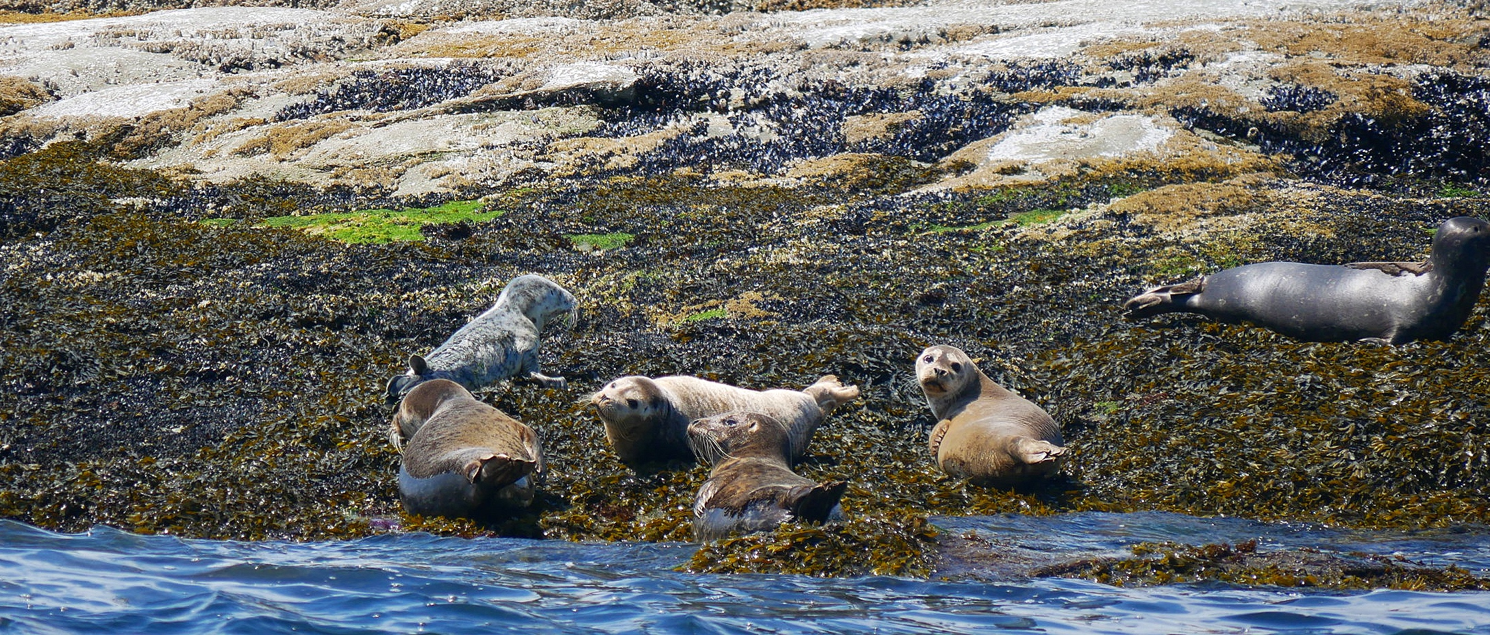 Harbour Seals are pretty darn cute! Photo by Rebeka Pirker (10.30)