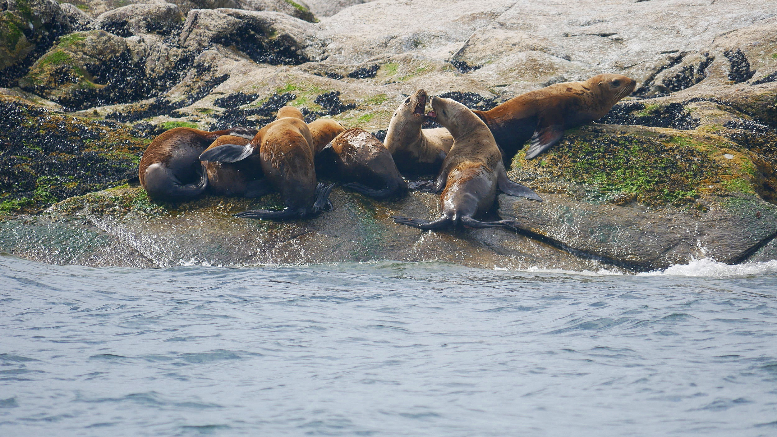 Steller Sea Lions. Photo by Val Watson (10.30)