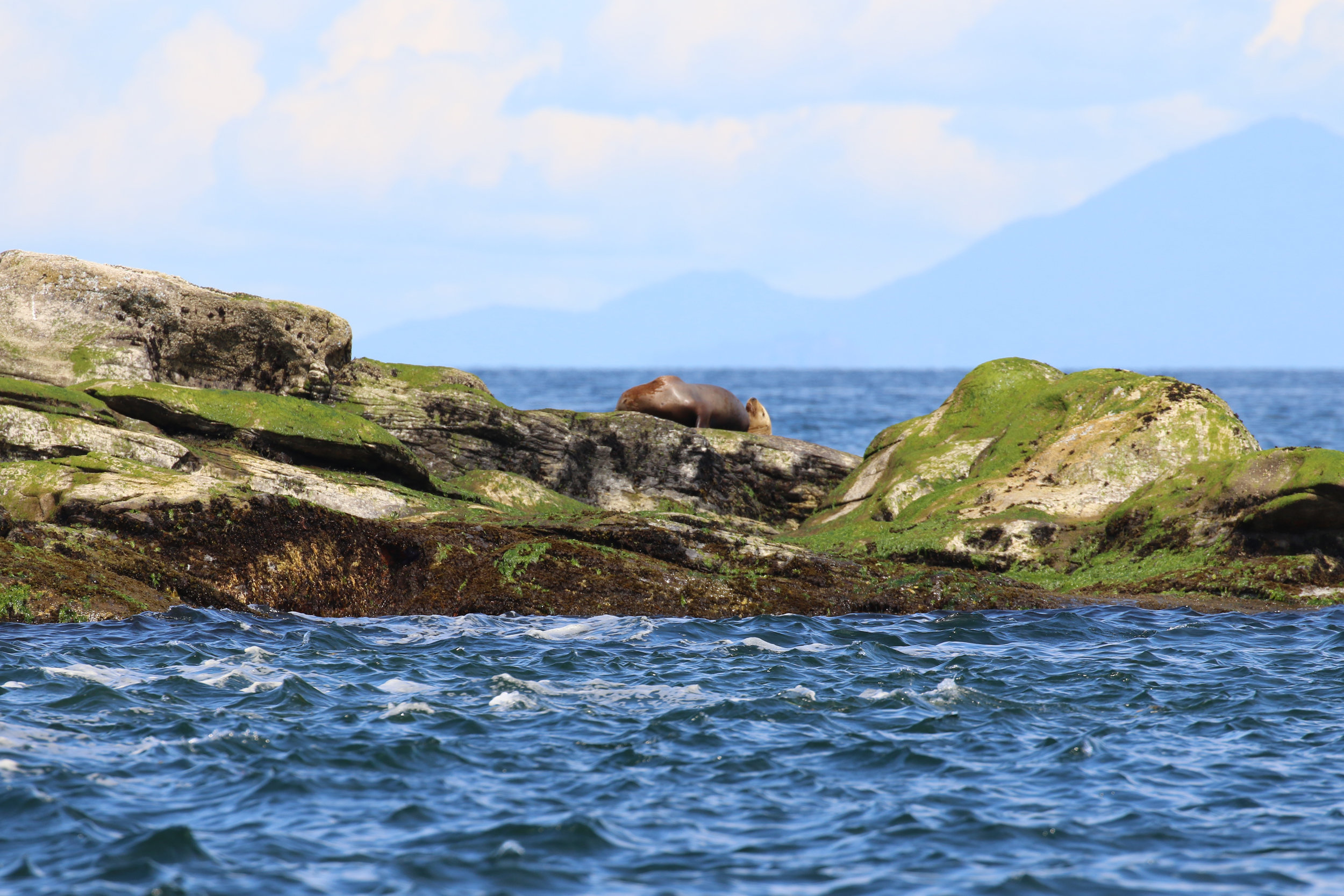 Some lazy Steller Sea Lions hanging out on Entrance island. Photo by Val Watson.