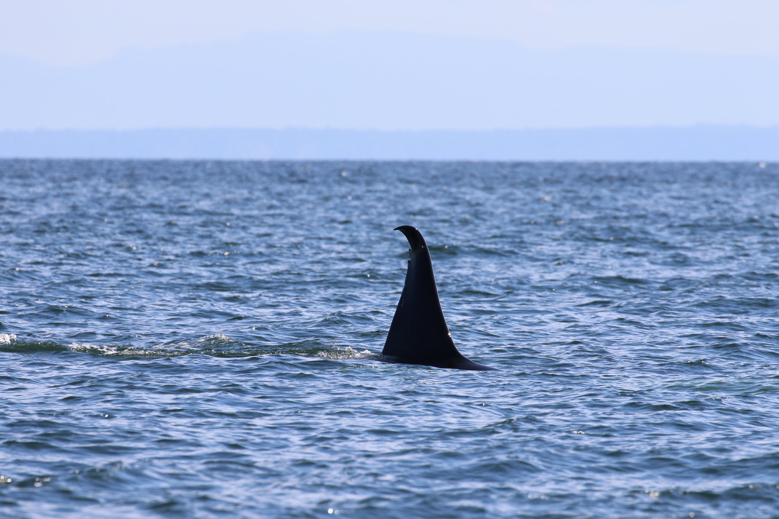 T46D with his droopy dorsal fin. Photo by Rebeka Pirker (3:30).