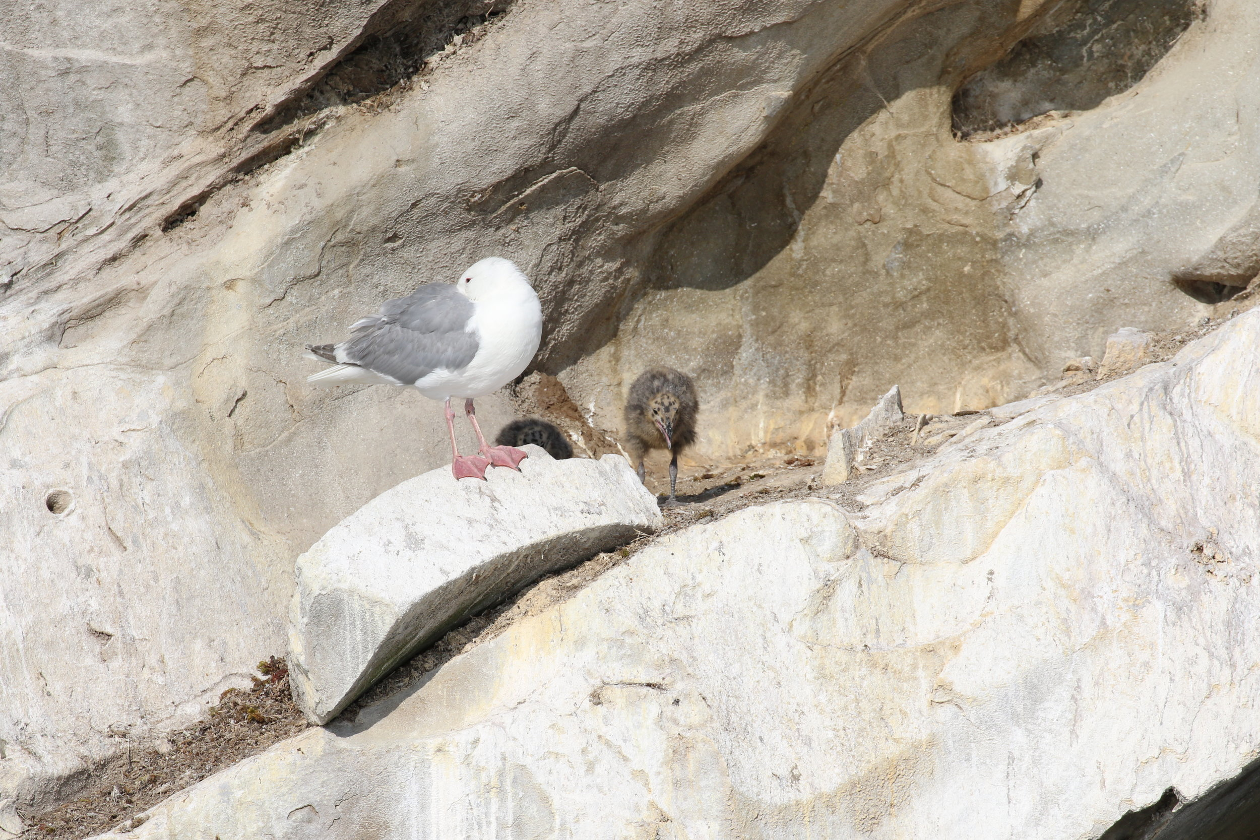 Momma seagull with her two chicks! Photo by Rebeka Pirker (3:30).