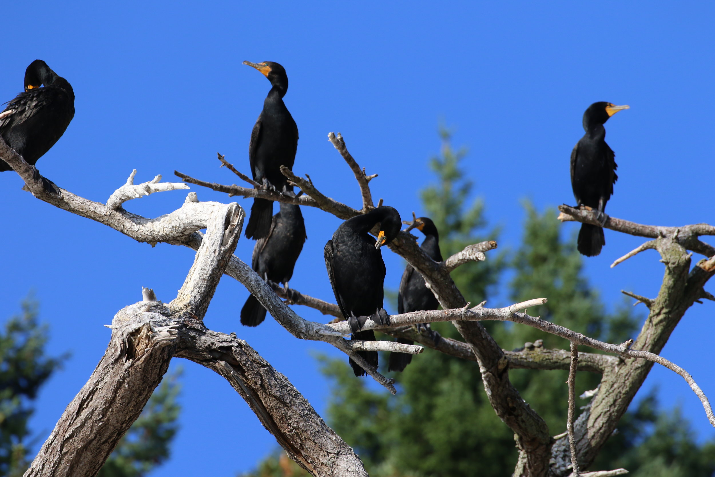 Cormorants hanging out on a tree. Photo by Rebeka Pirker (3:30).