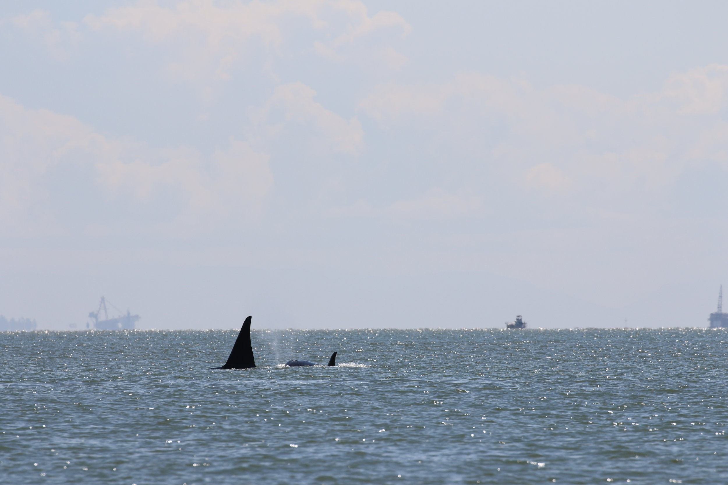 Wake (T46) and T46F, who is 7 years old! Photo by Val Watson (10:30).