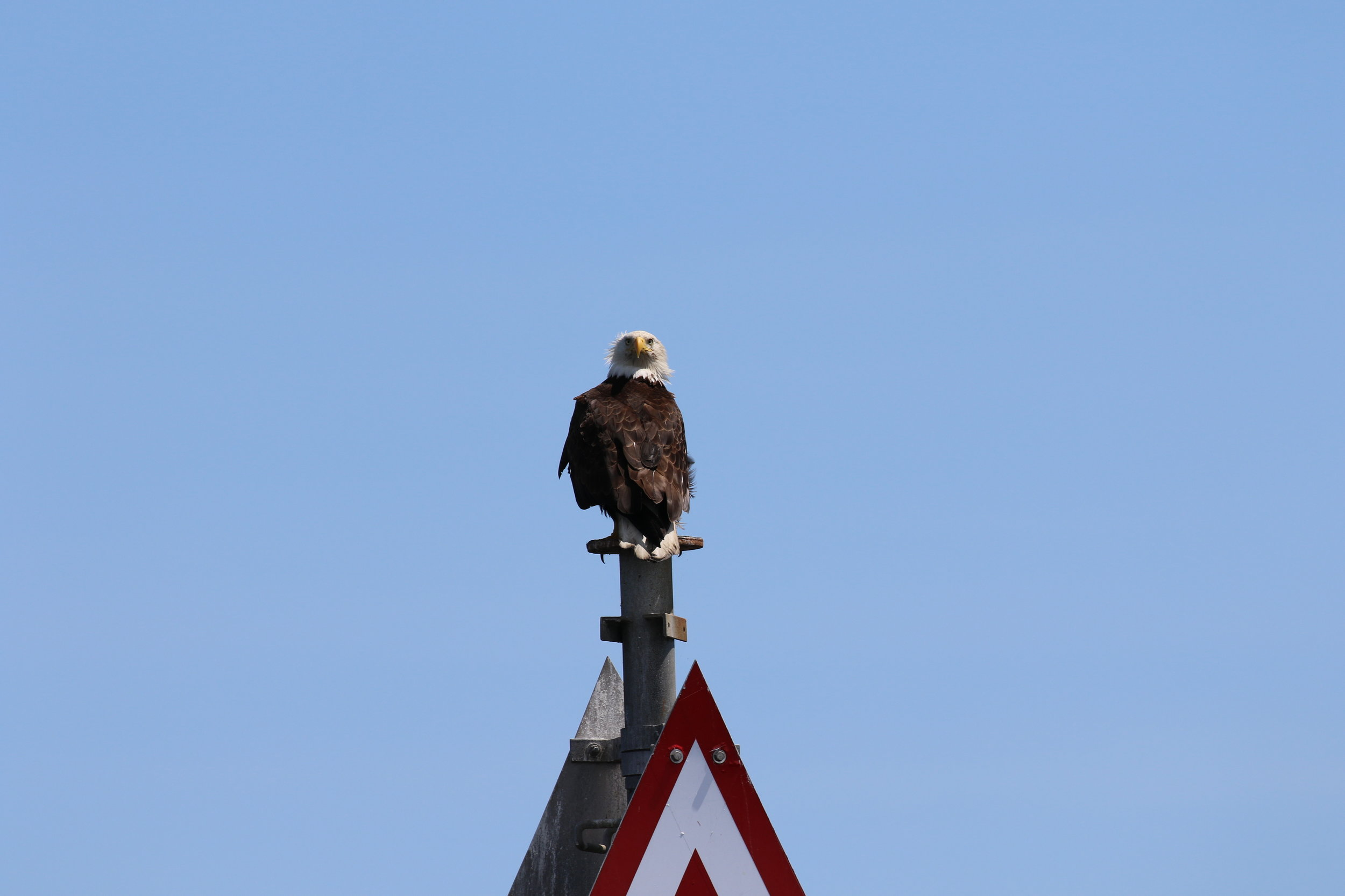 Perched bald eagle. Photo by Val Watson (10:30).