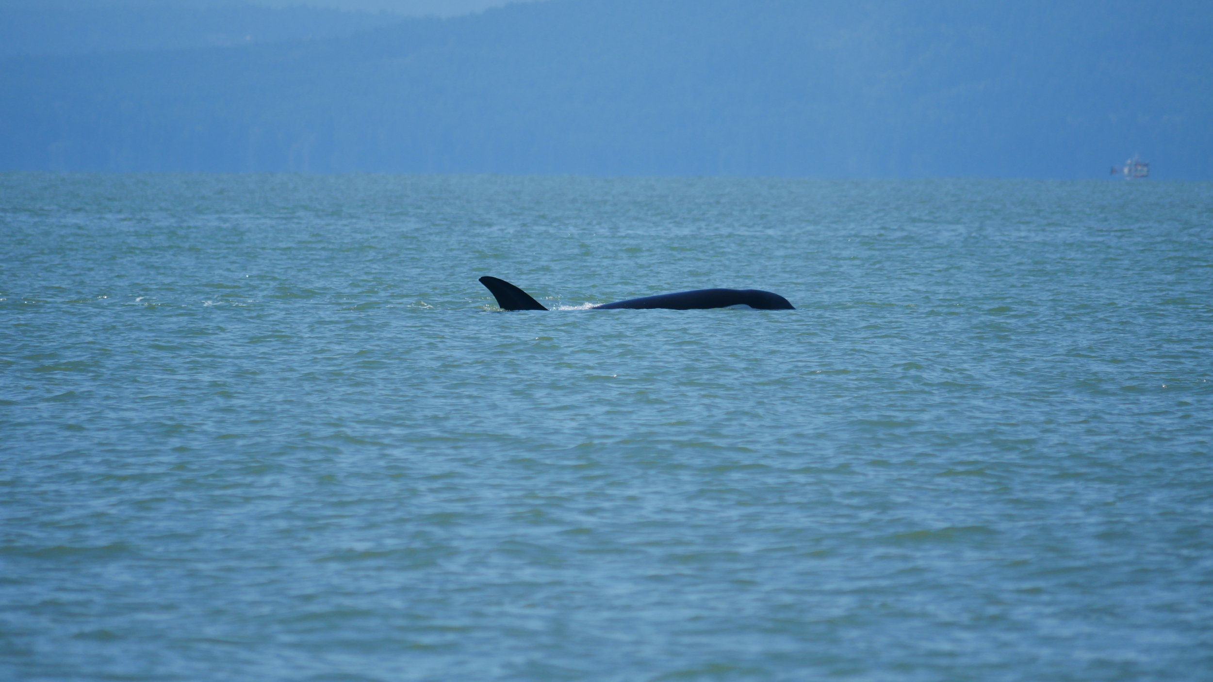 Centeki (T122) doesn't have her own pod, so she usually travels with the T46's. Photo by Ryan Uslu (10:30).