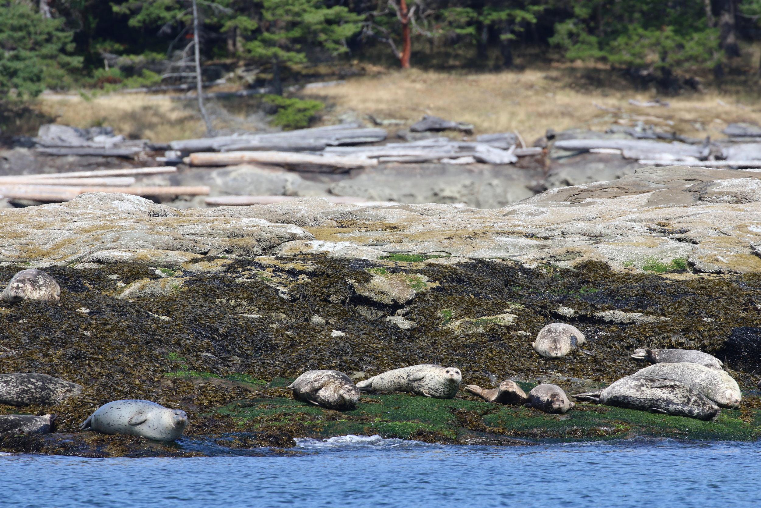 Harbour seals resting. Photo by Ryan Uslu (10:30).