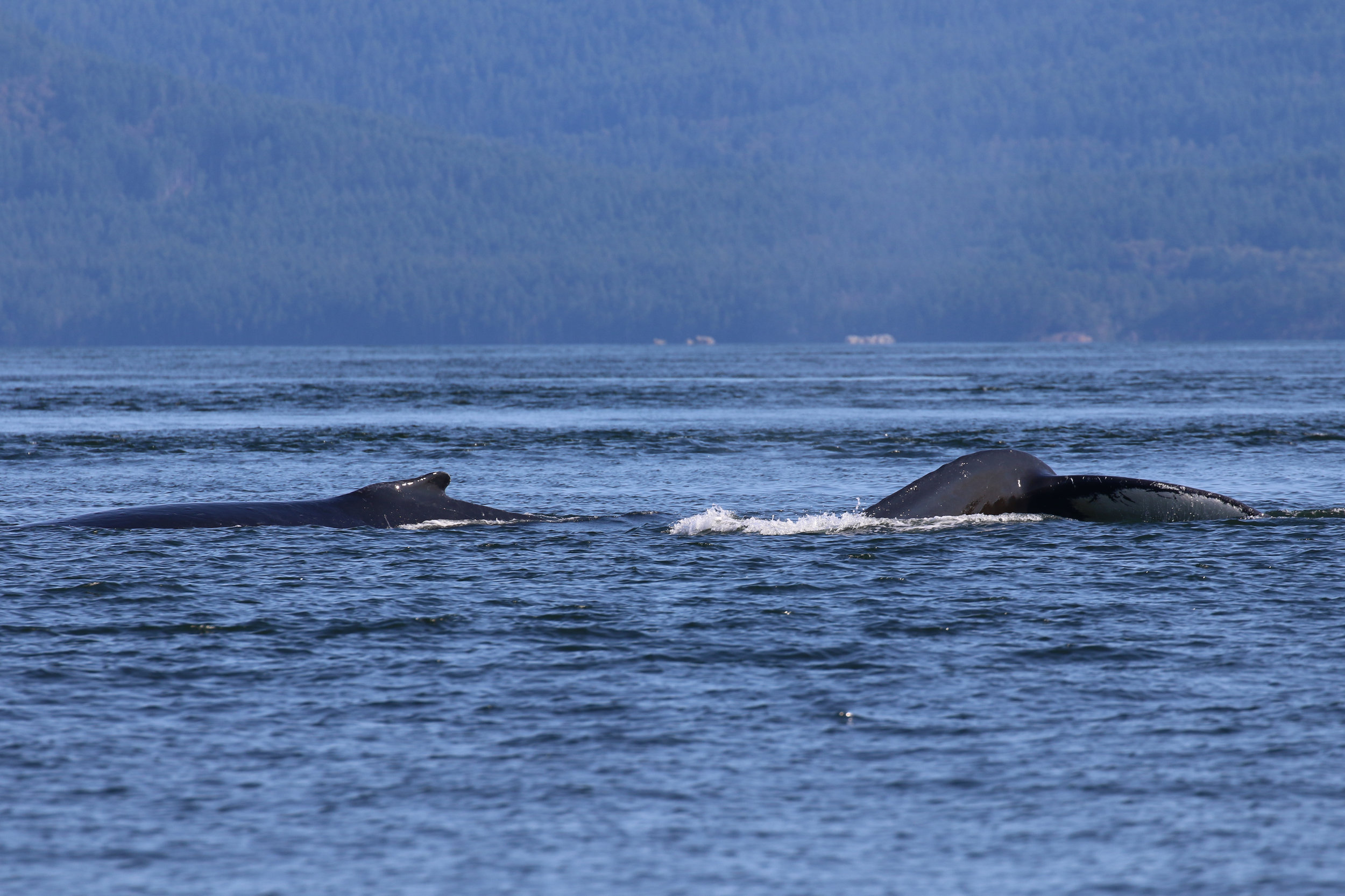 Stike (left) and Two Spot (right) at the surface together. Photo by Val Watson.