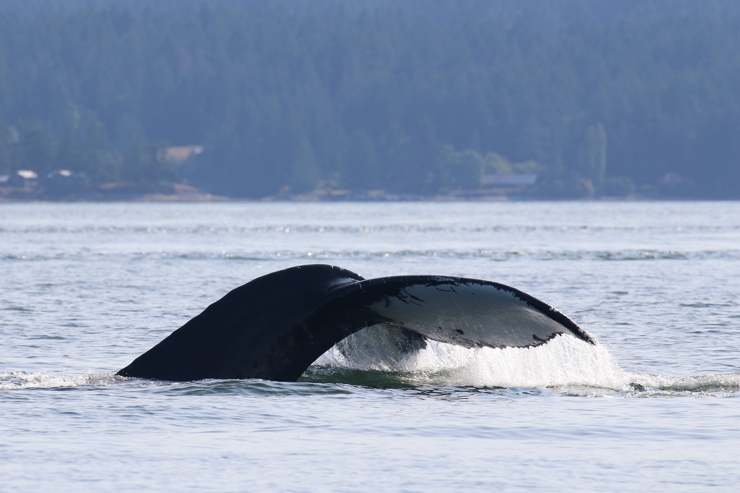 Two Spot going for a dive! You can see the black spots on the fluke that this whale is named for. Photo by Val Watson.