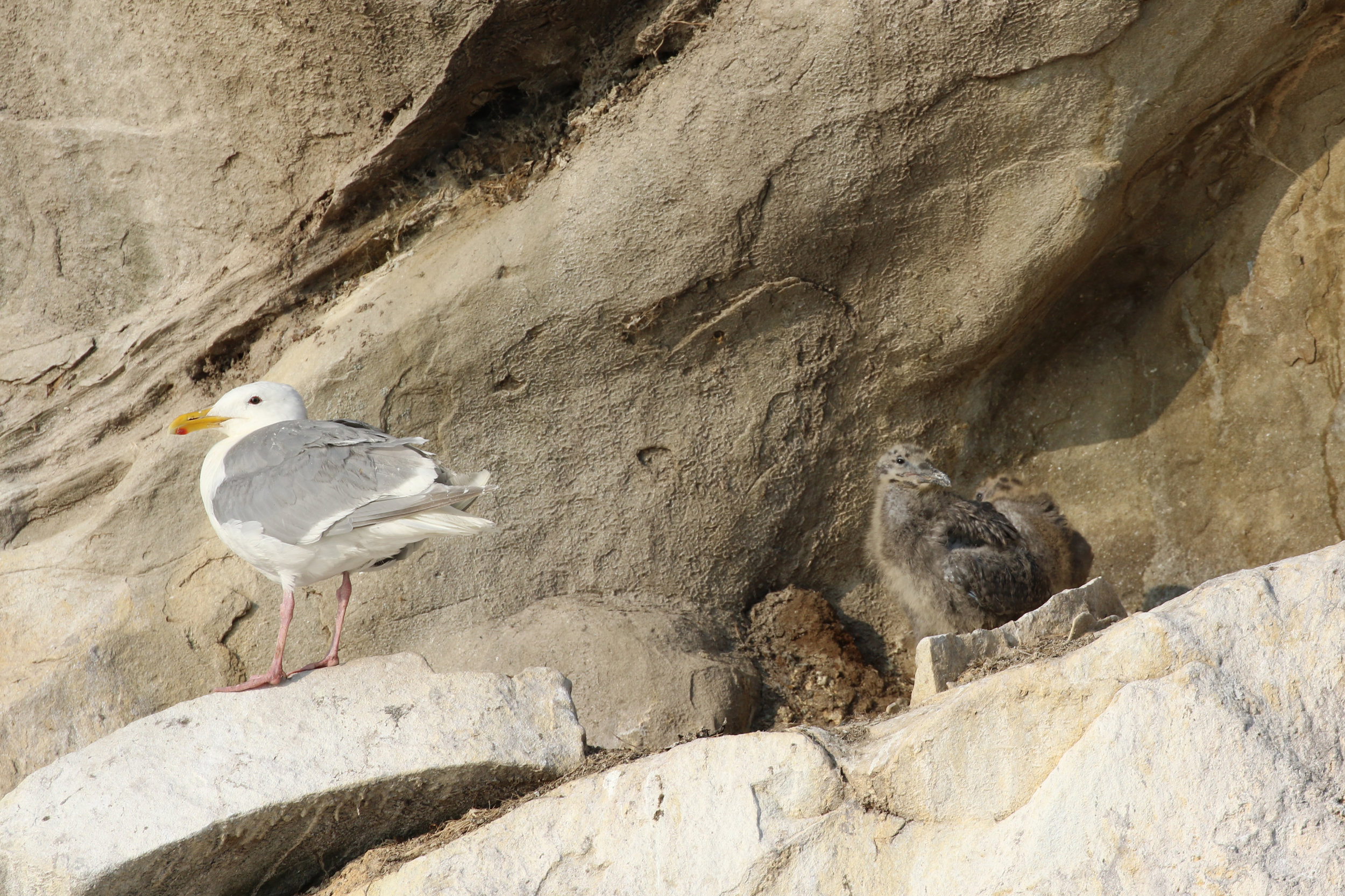 Sea Gull with its chicks on Gabriola Bluffs. Photo by Val Watson.