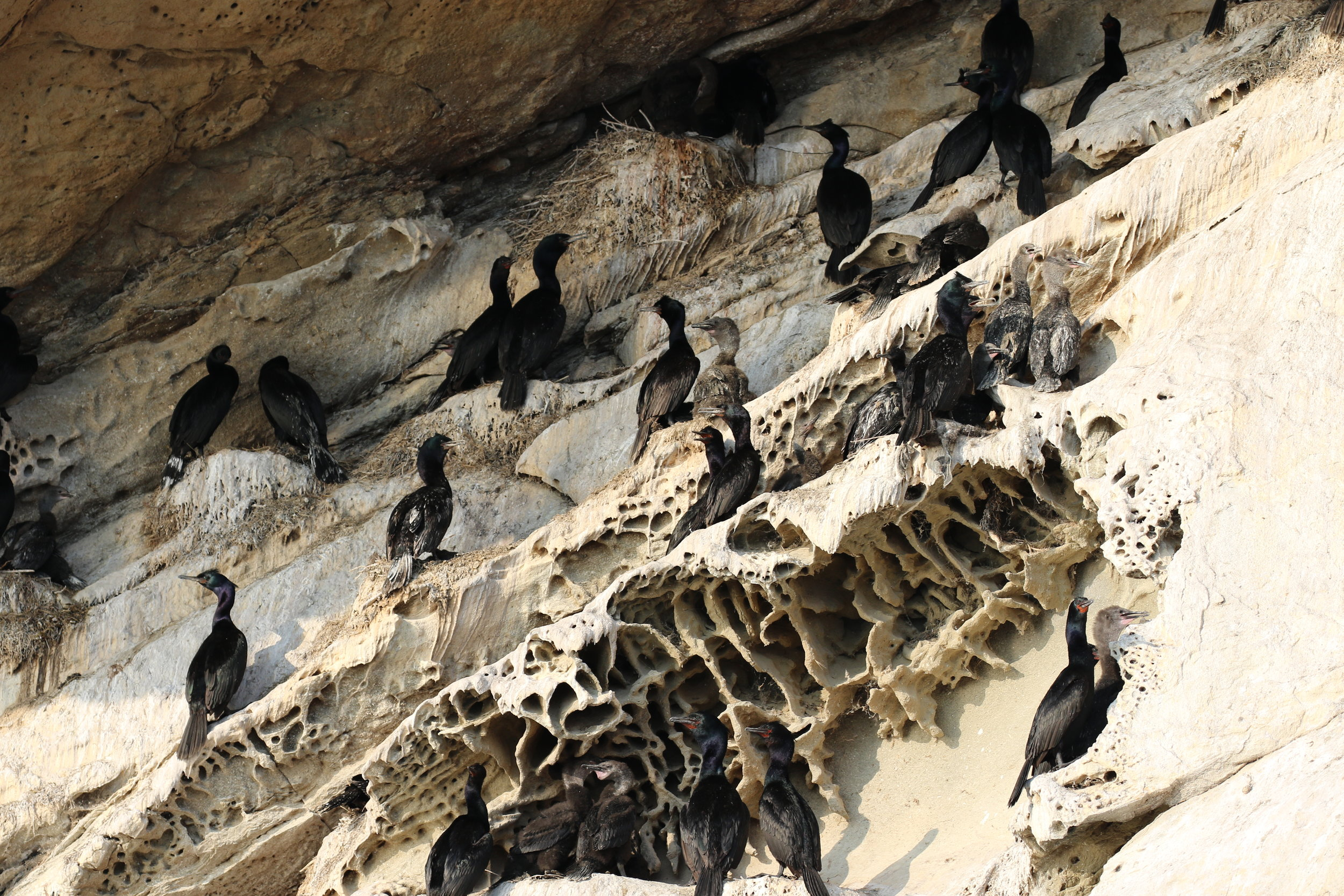 Tons of Cormorants and their chicks on the cliffside. Photo by Val Watson.