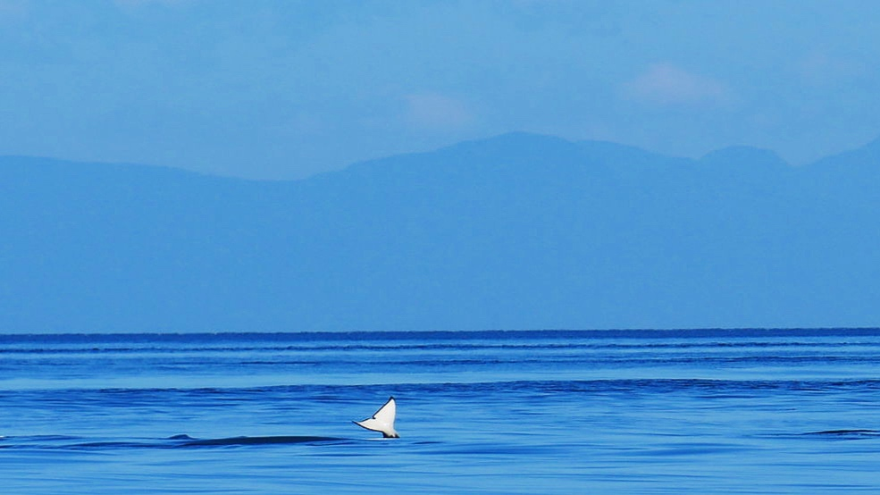 Baby whale tail! Little 65A6 gave us a wave! photo by Rebeka Pirker. (10.30)