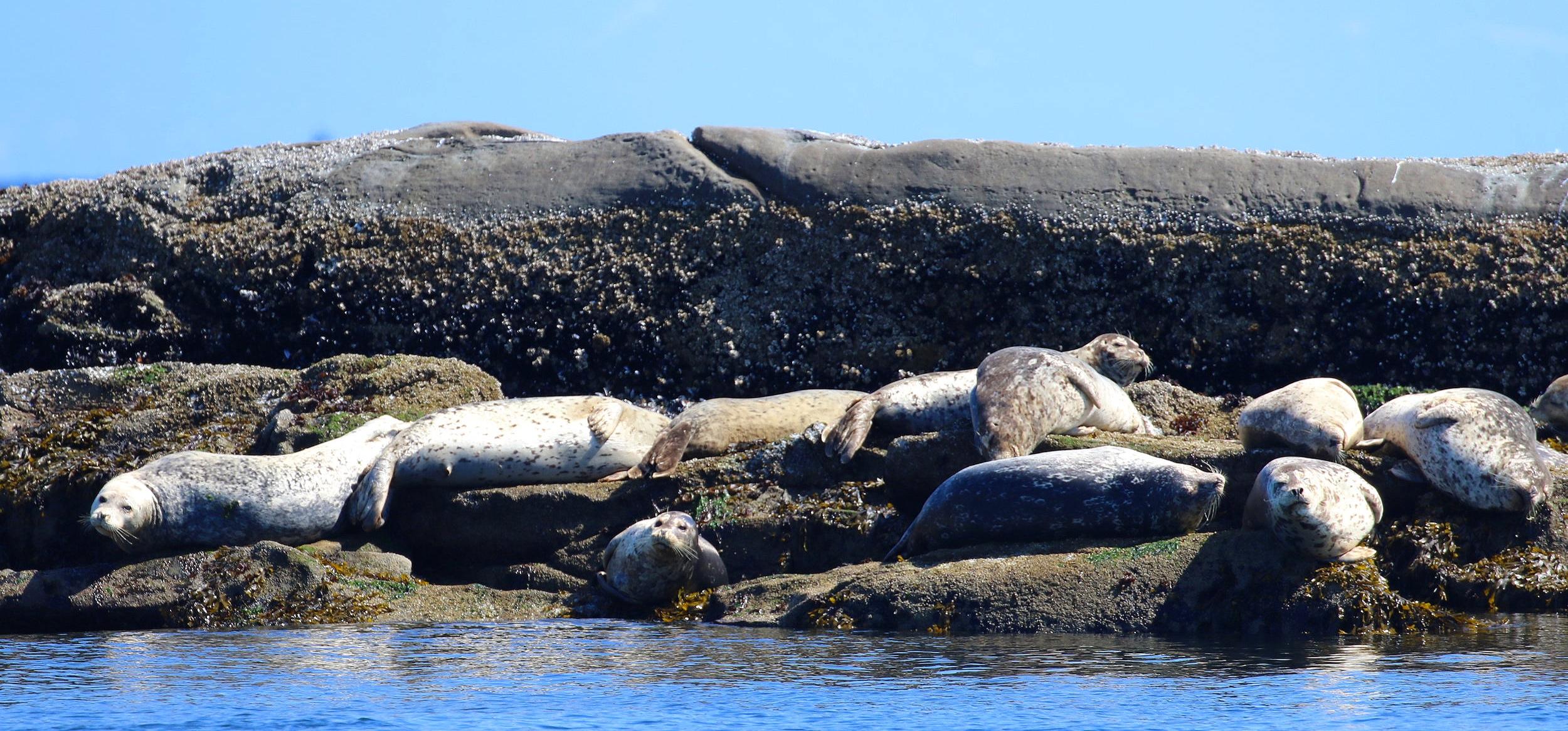 Harbour Seals. Photo by Alanna Vivani (10.30)