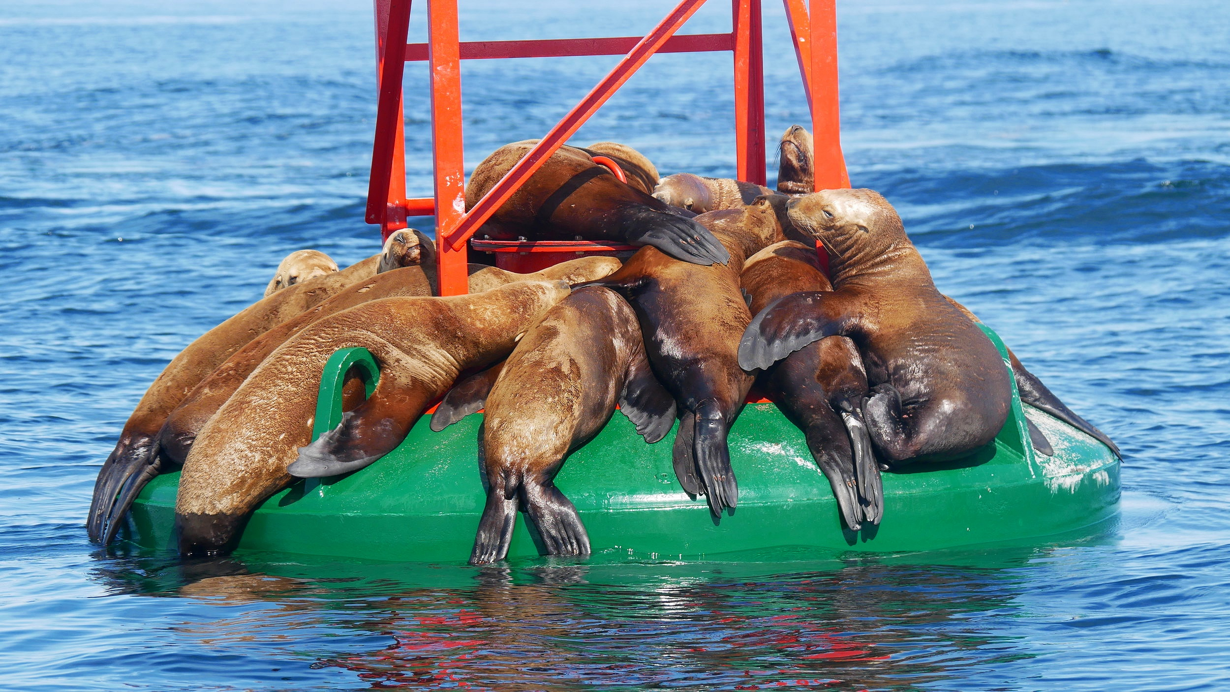 Steller Sea Lion cuddle puddle. Photo by Alanna Vivani (3.30)