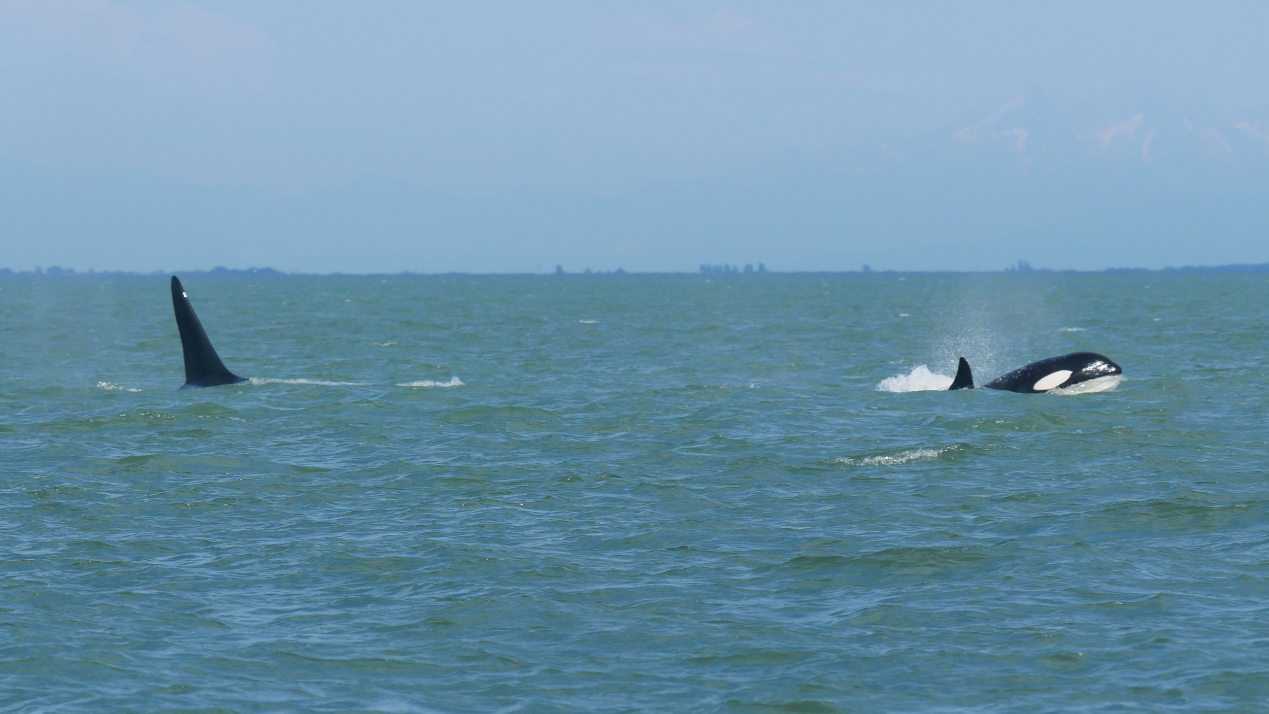 T124A3 (right) and T077B (left) surfacing in the Strait. Photo by Rebeka Pirker.