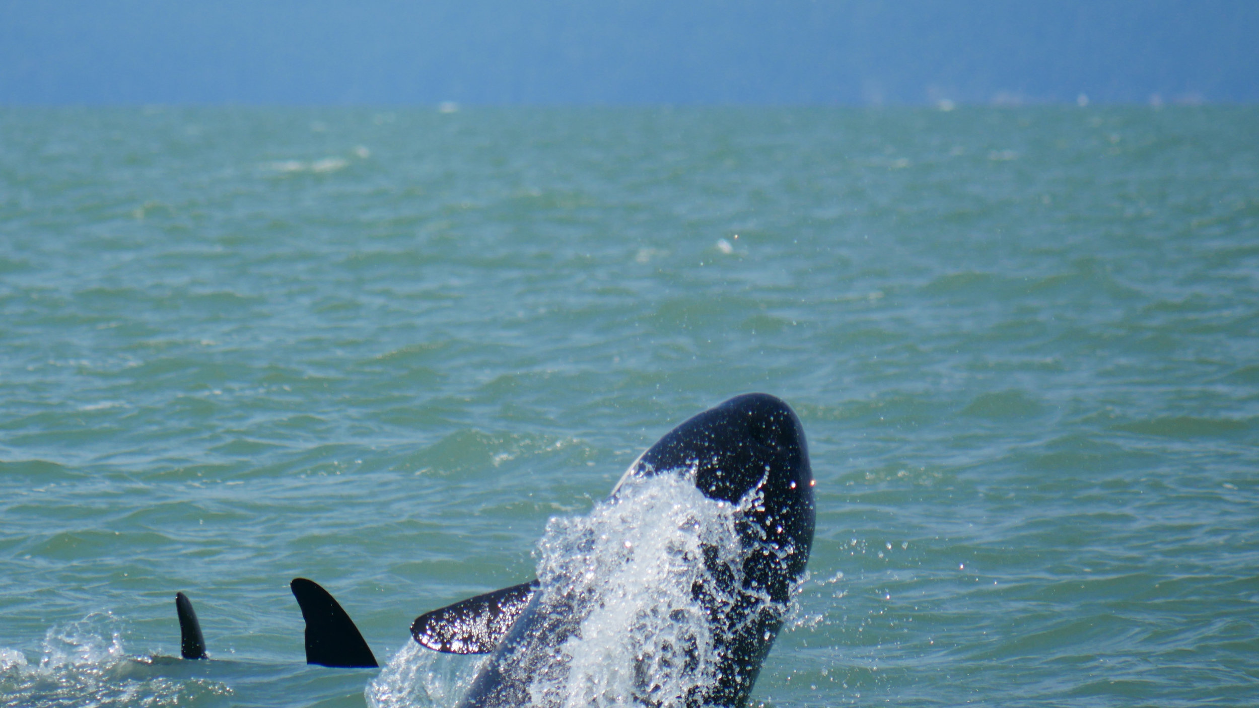 Little breaching whale from the back! Look at all the water coming off of it! Photo by Val Watson.