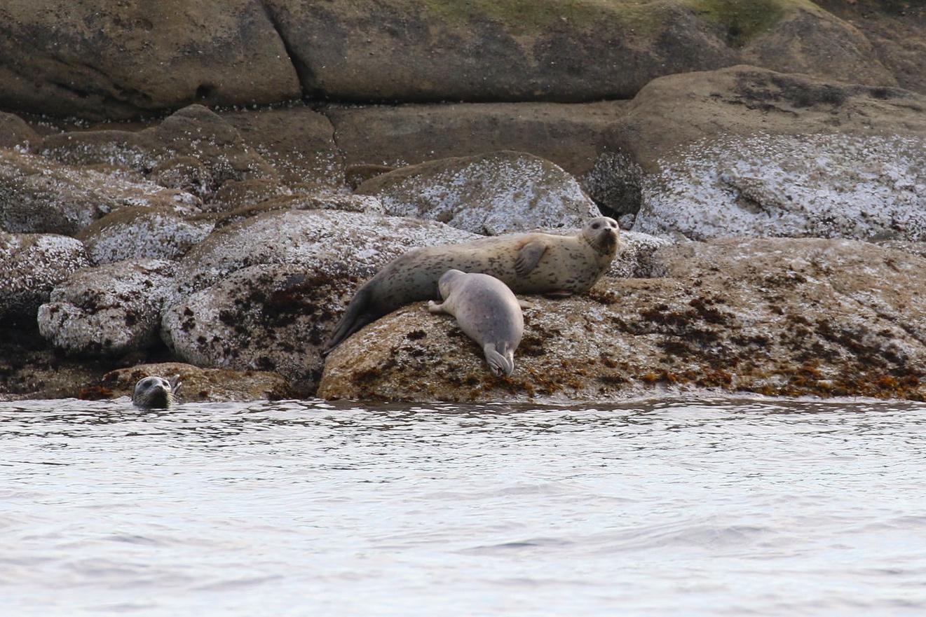 Seal pup nursing on the rocks. Photo by Rebeka Pirker (3:30).