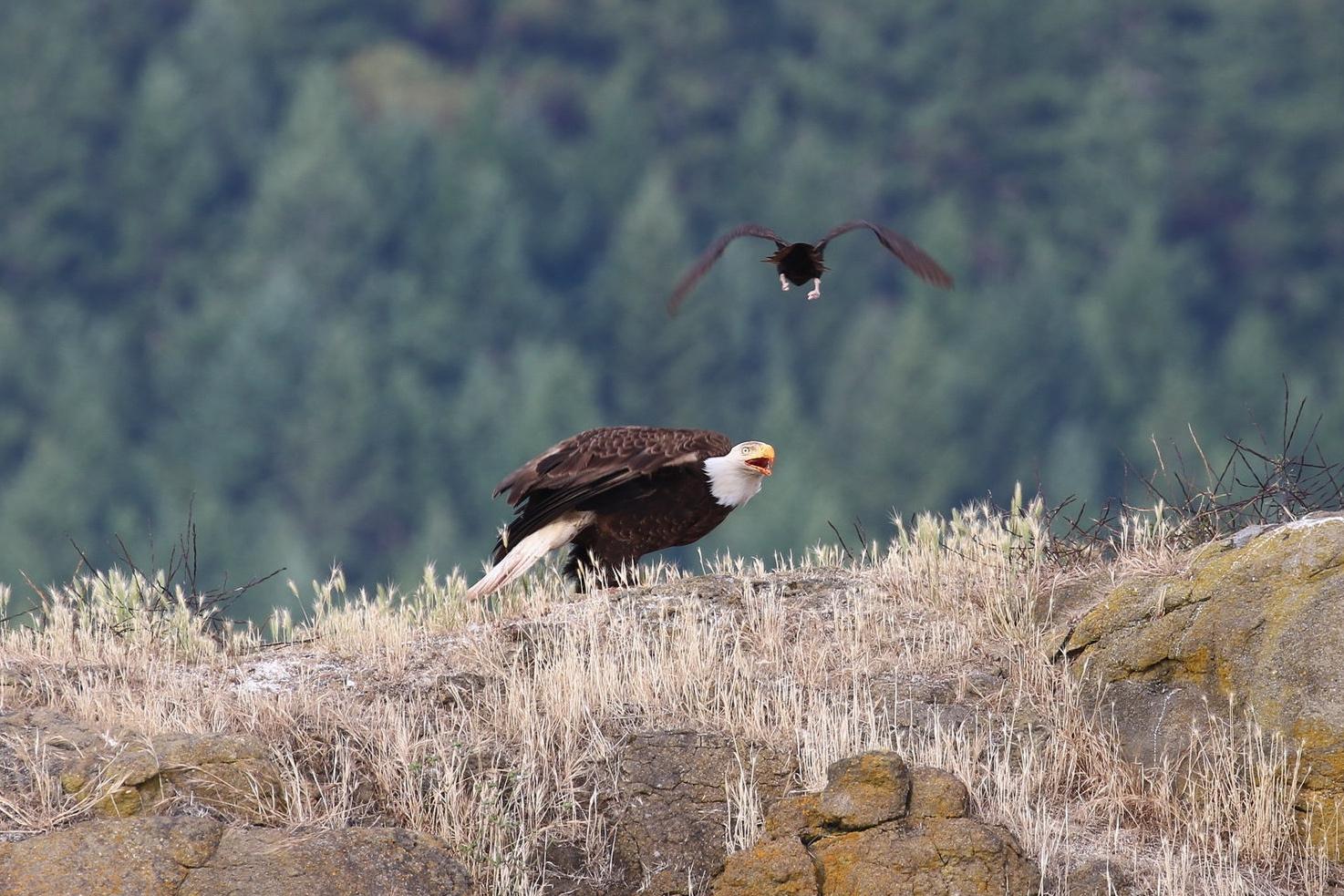 Interrupting an Eagle feast. Photo by Rebeka Pirker (3:30).