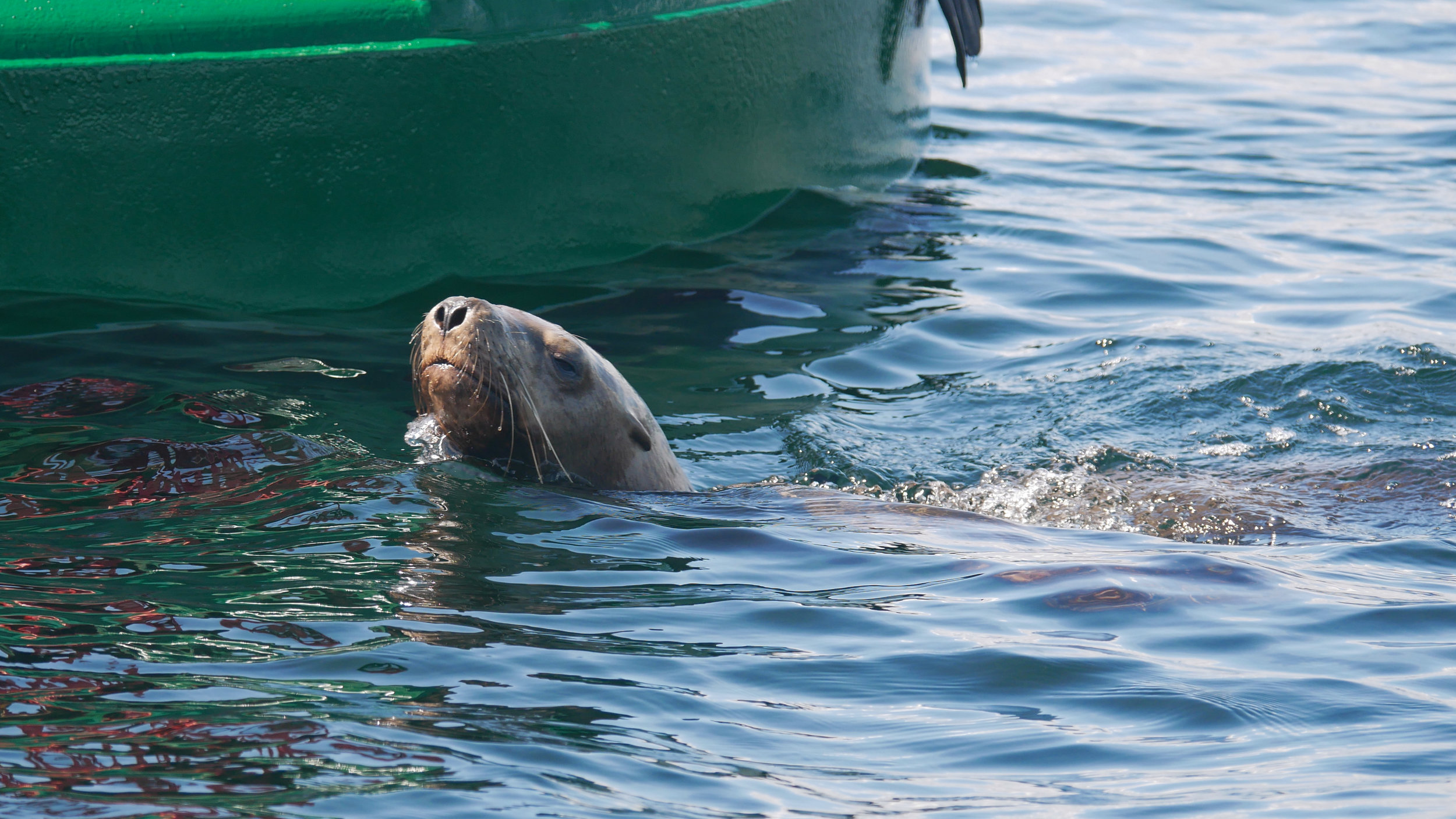 Steller sea lion swimming up to the buoy. Photo by Rebeka Pirker