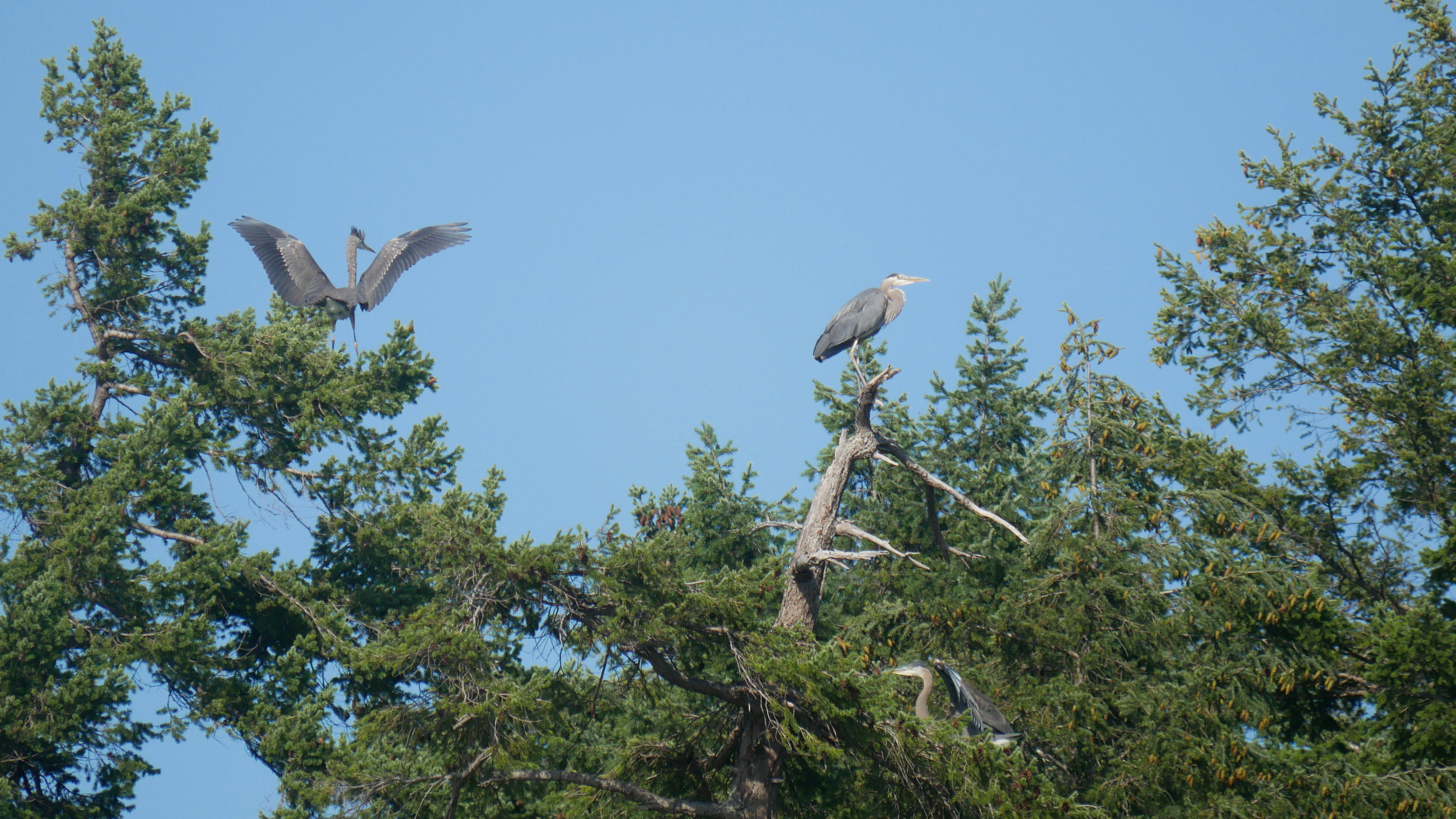 How many Great Blue herons can you see? Photo by Rebeka Pirker