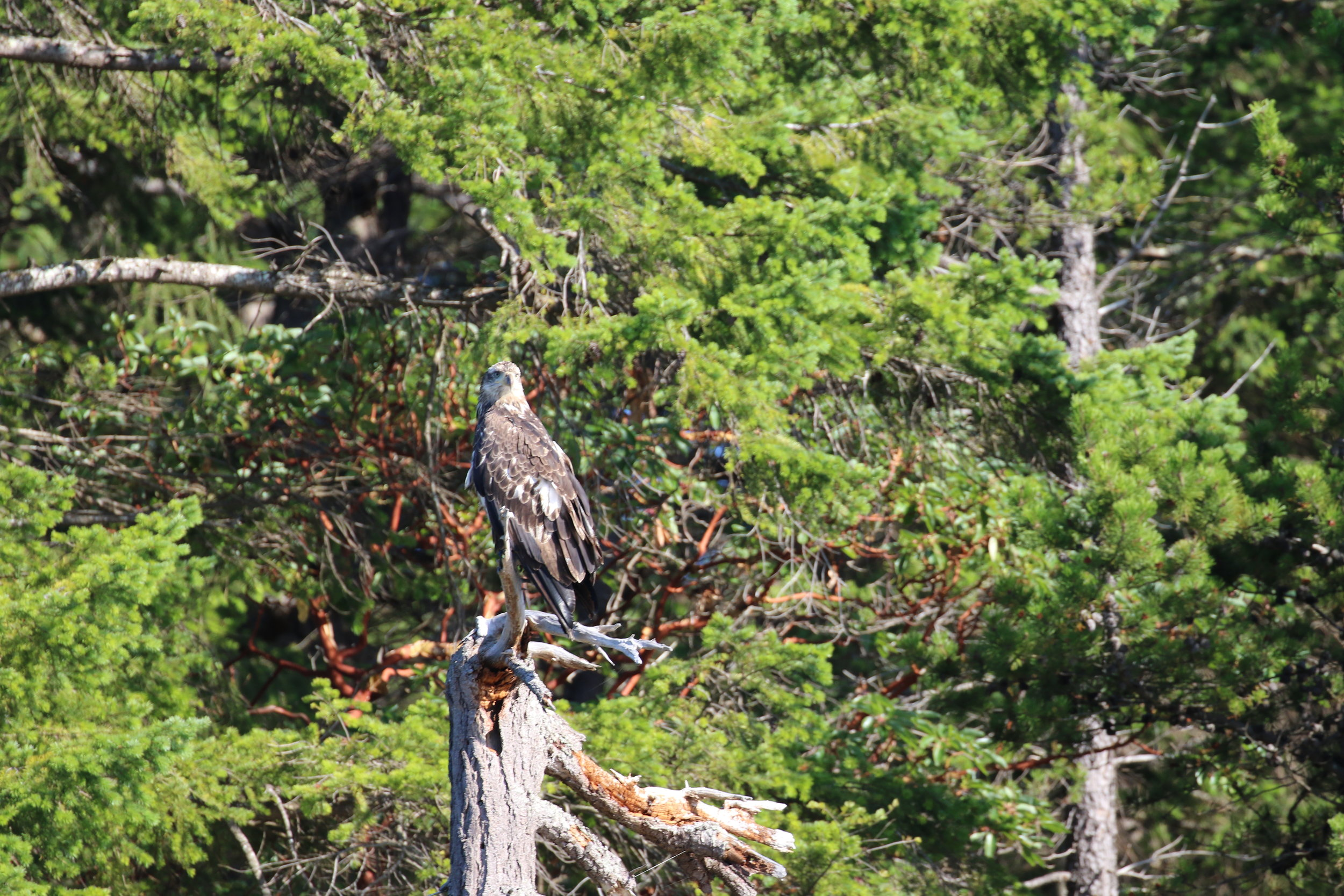 A young bald eagle. Photo by Ryan Uslu (3:30).