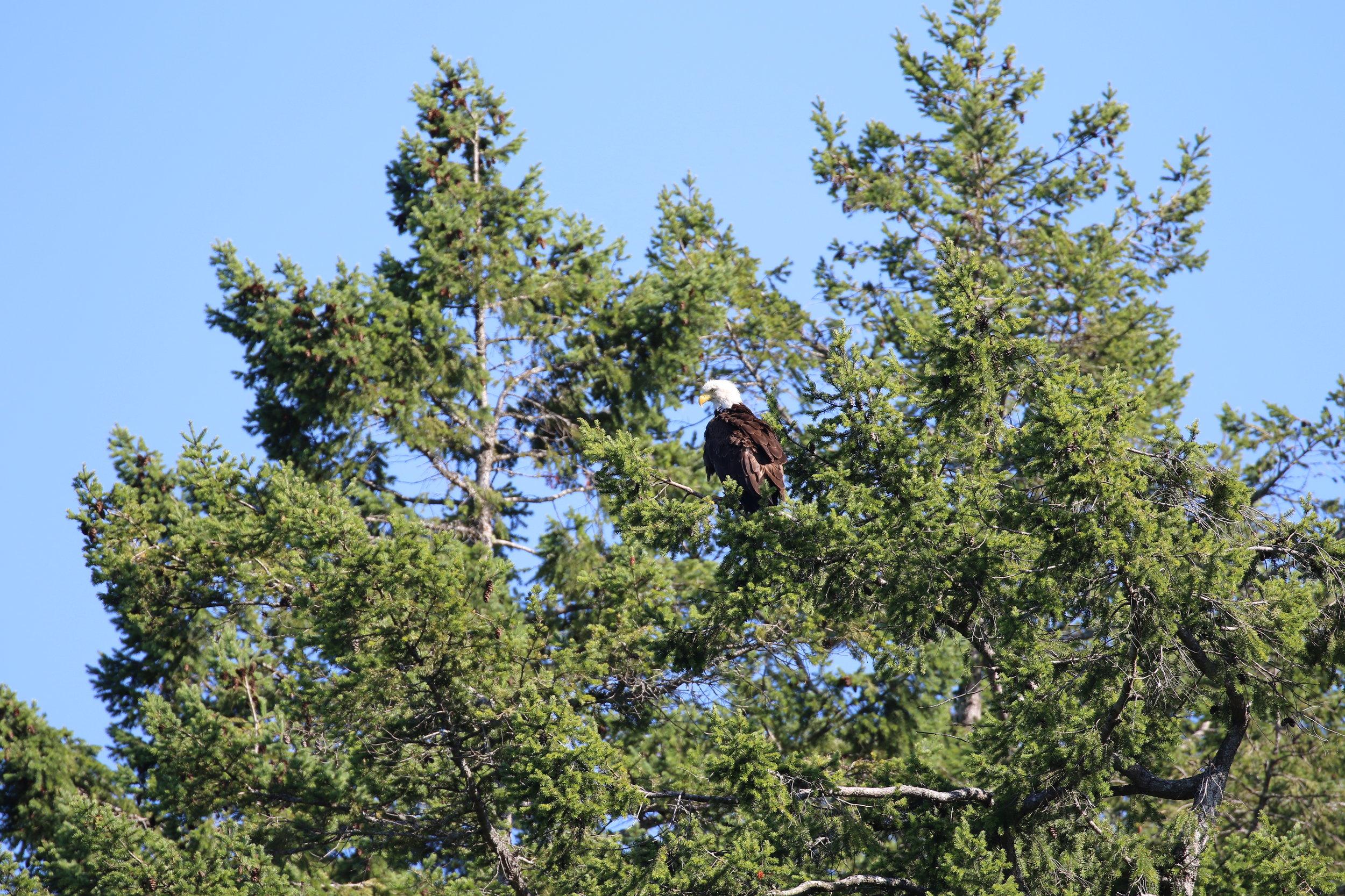 Perched bald eagle. Photo by Ryan Uslu (3:30).