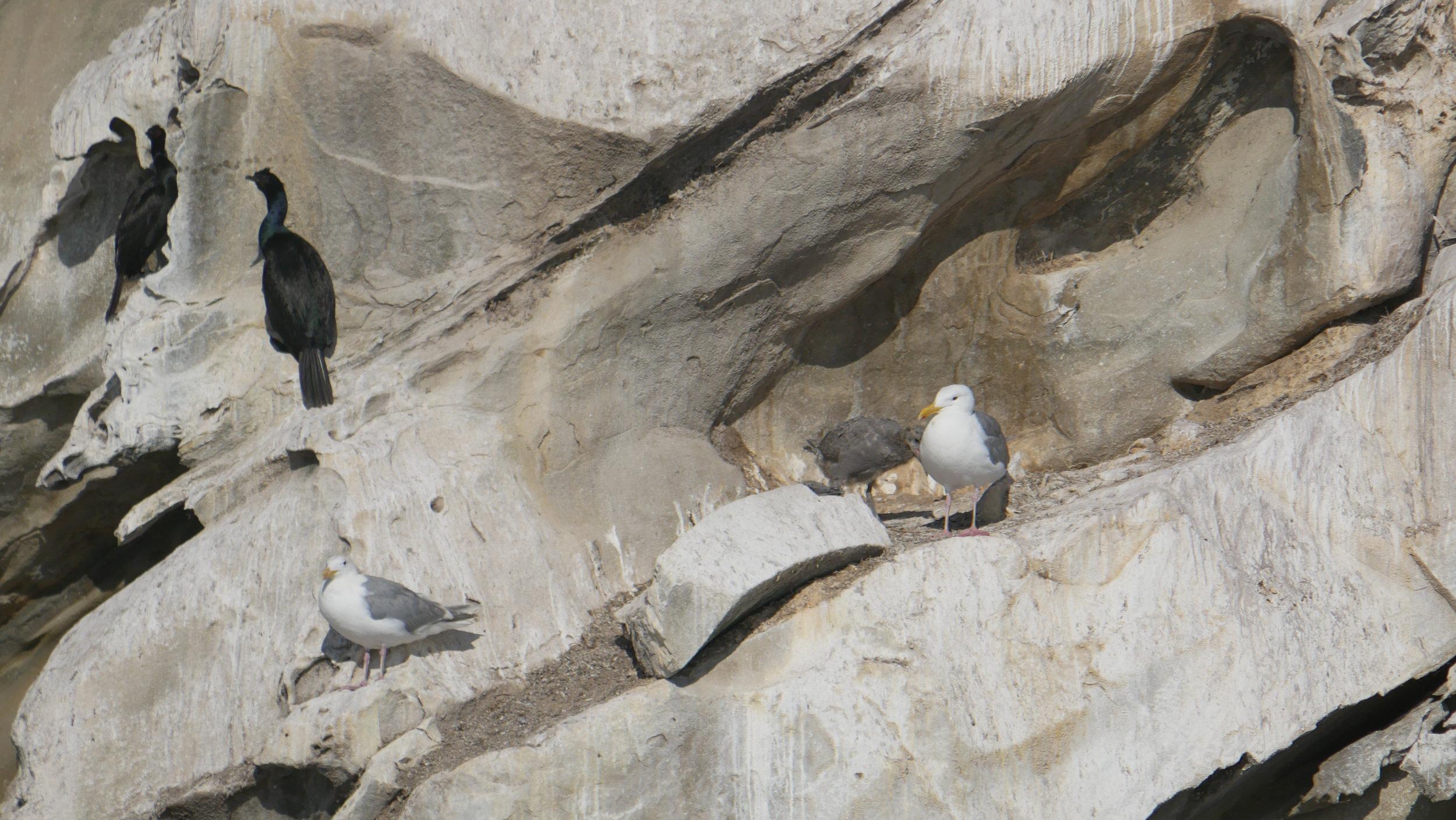 Seagulls and cormorants at Gabriola Island. Photo by Cheyenne Brewster (3:30).