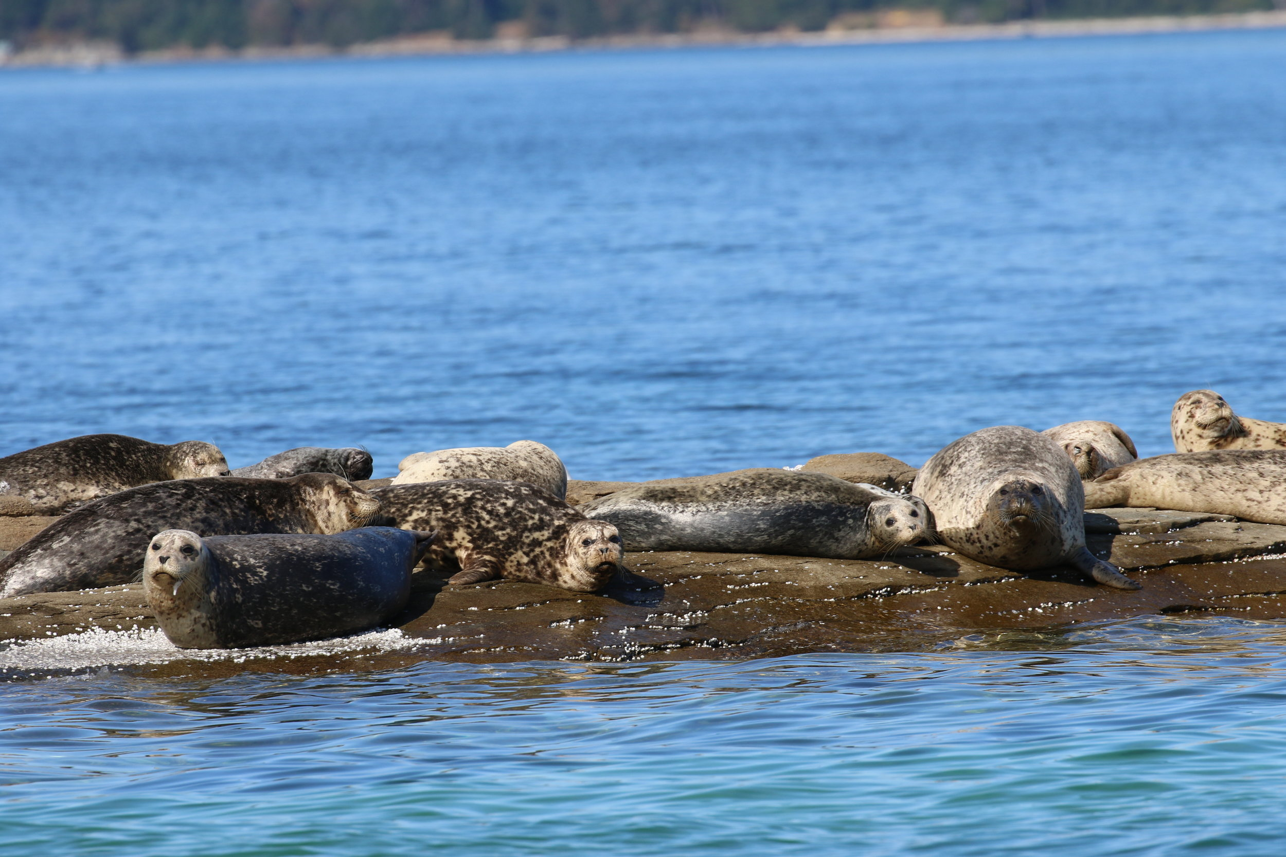Harbour seals lounging on the rocks. Photo by Rebeka Pirker (3:30).