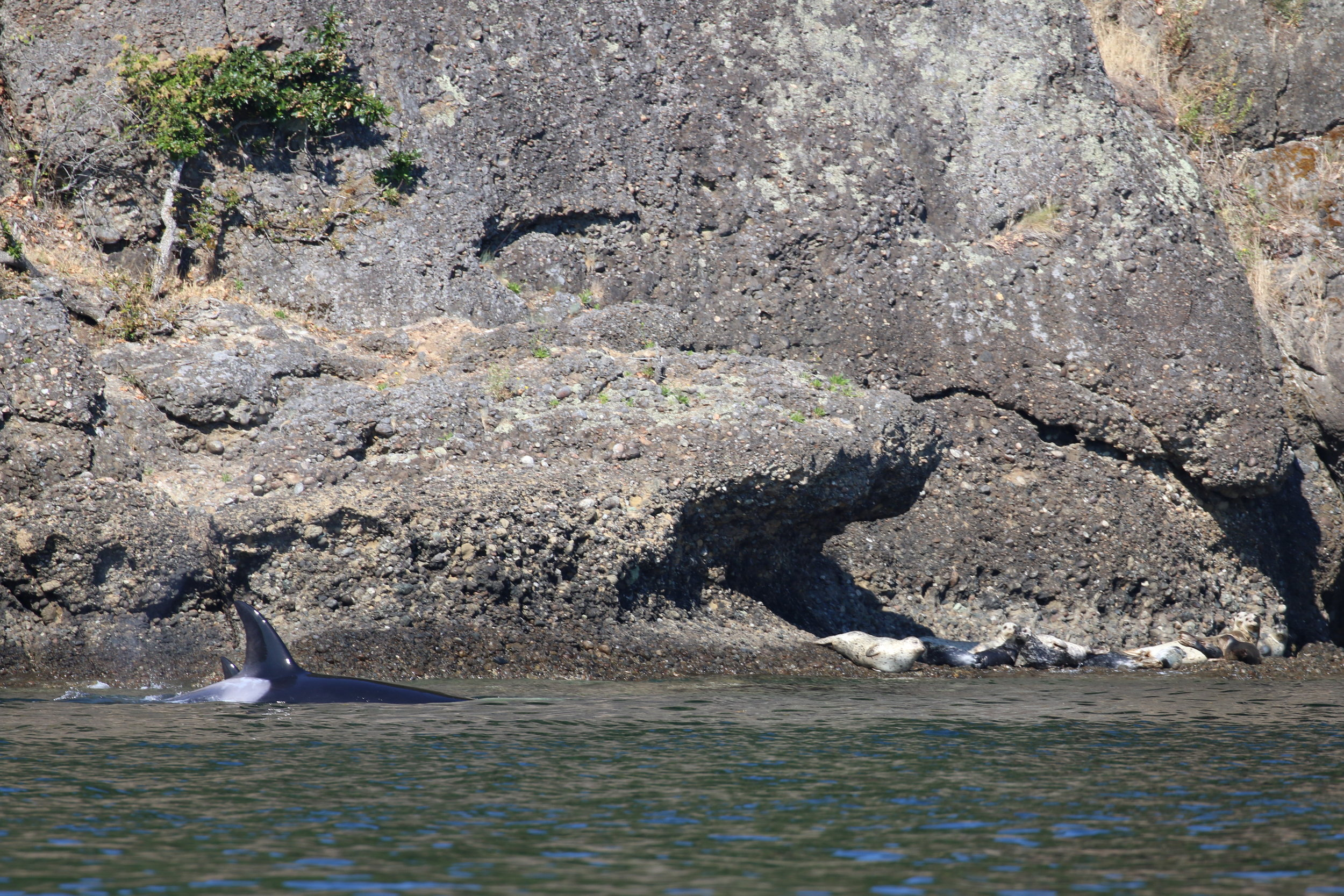 Neftali and Alcyon scaring some Harbour Seals in Active Pass. Photo by Val Watson (3.30)