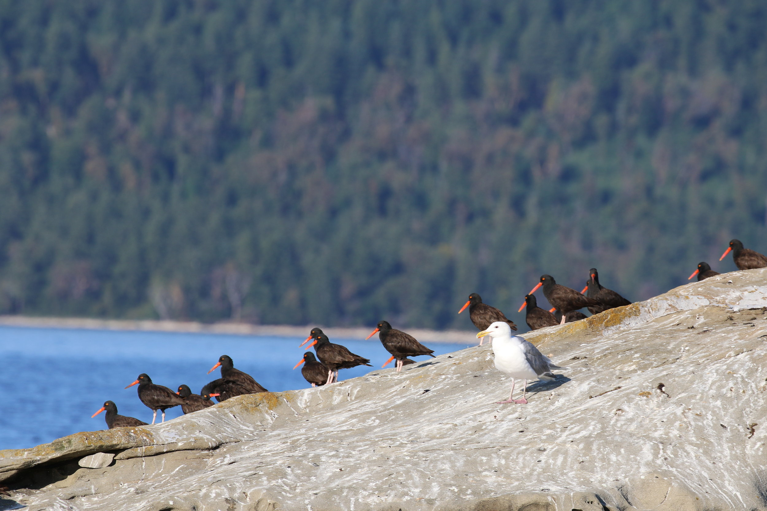 Oyster Catchers hanging out with the seals! Photo by Val Watson (3.30)