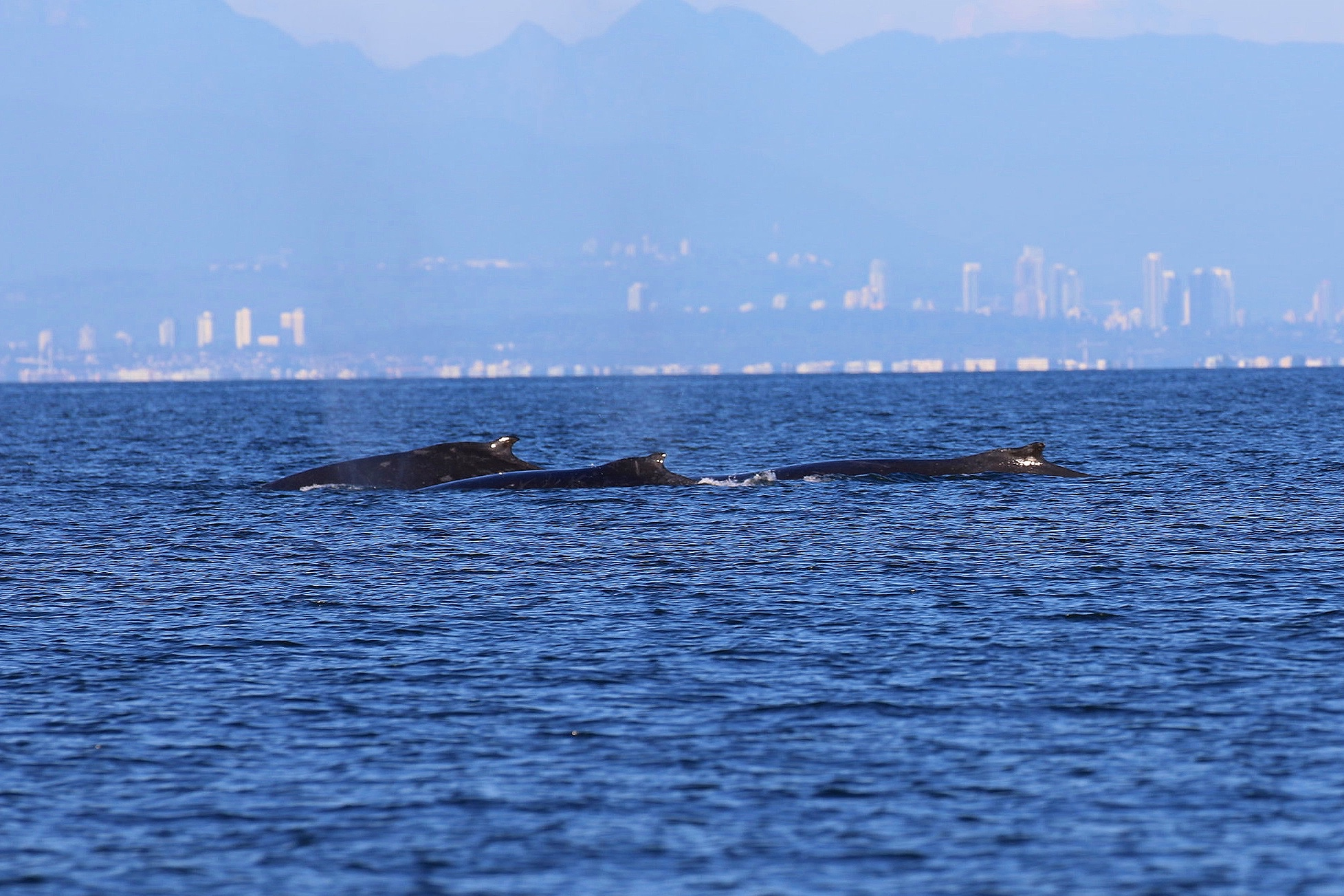 Slate, Slate's calf, and Orion; a trio of Humpbacks! Photo by Natalie Reichenbacher (3:30).