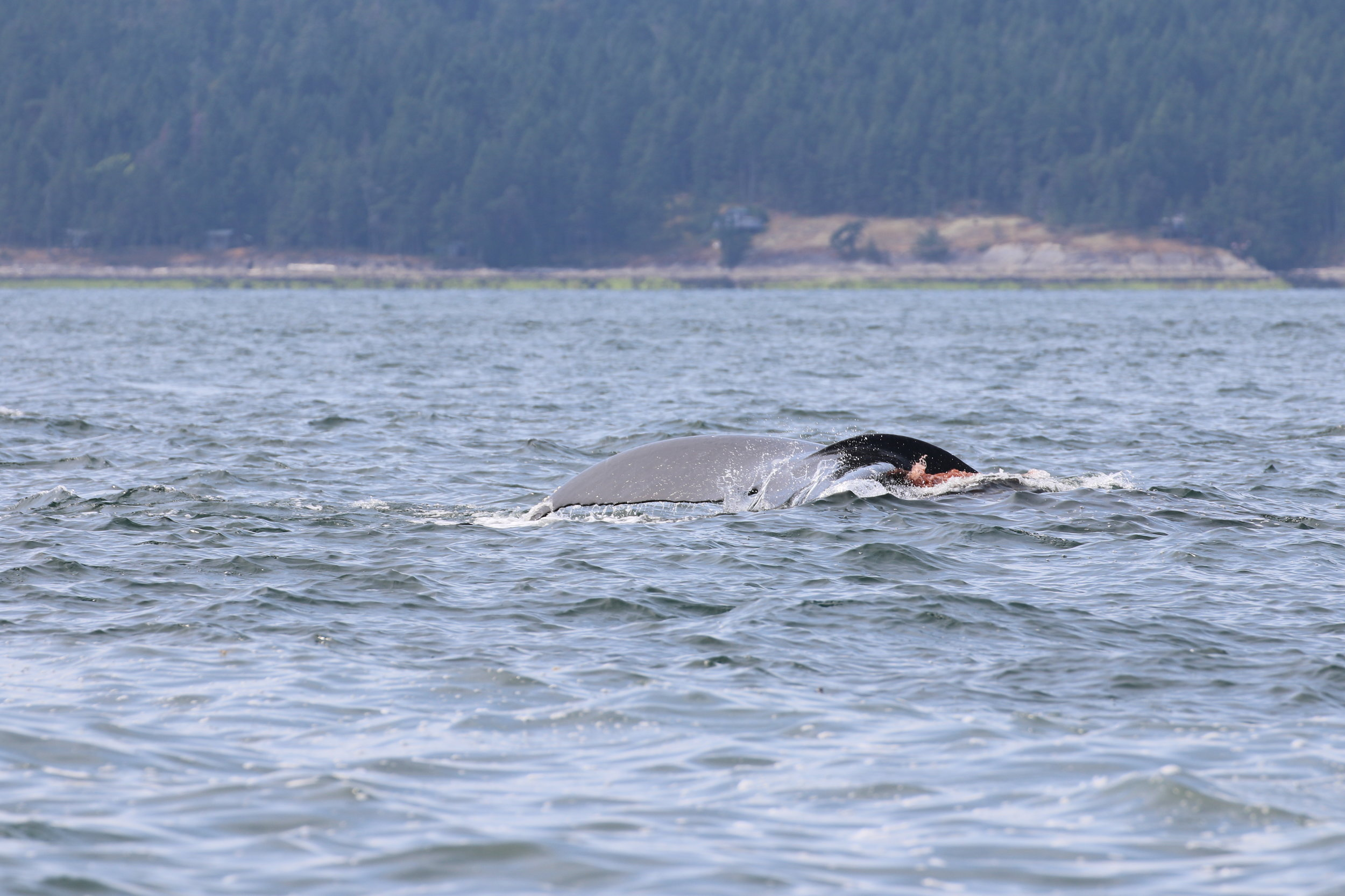 Pooping humpback! Photo by Natalie Reichenbacher (10:30am).