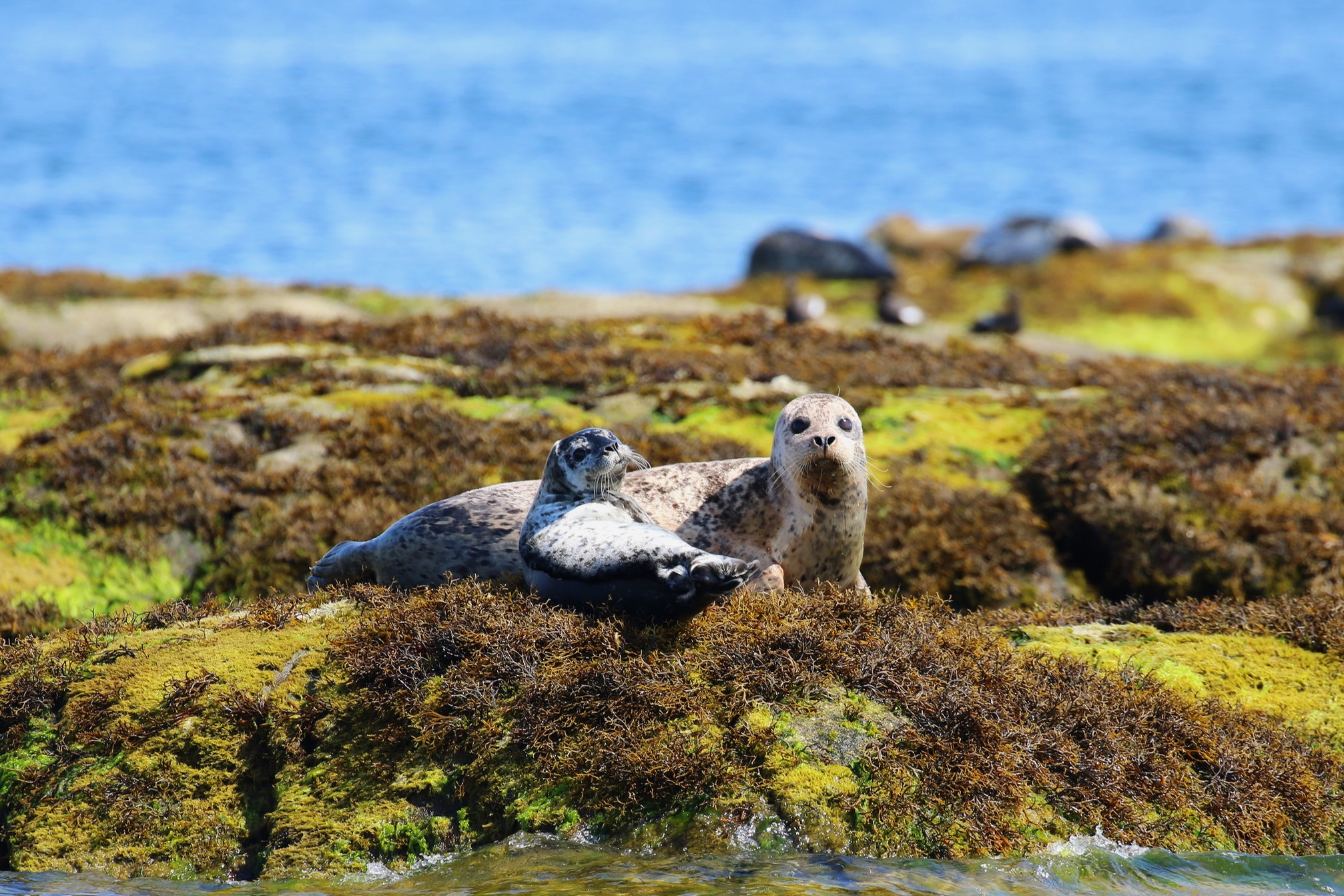 Harbour seal mom hanging out with her pup! Photo by Rebeka Pirker (10.30)