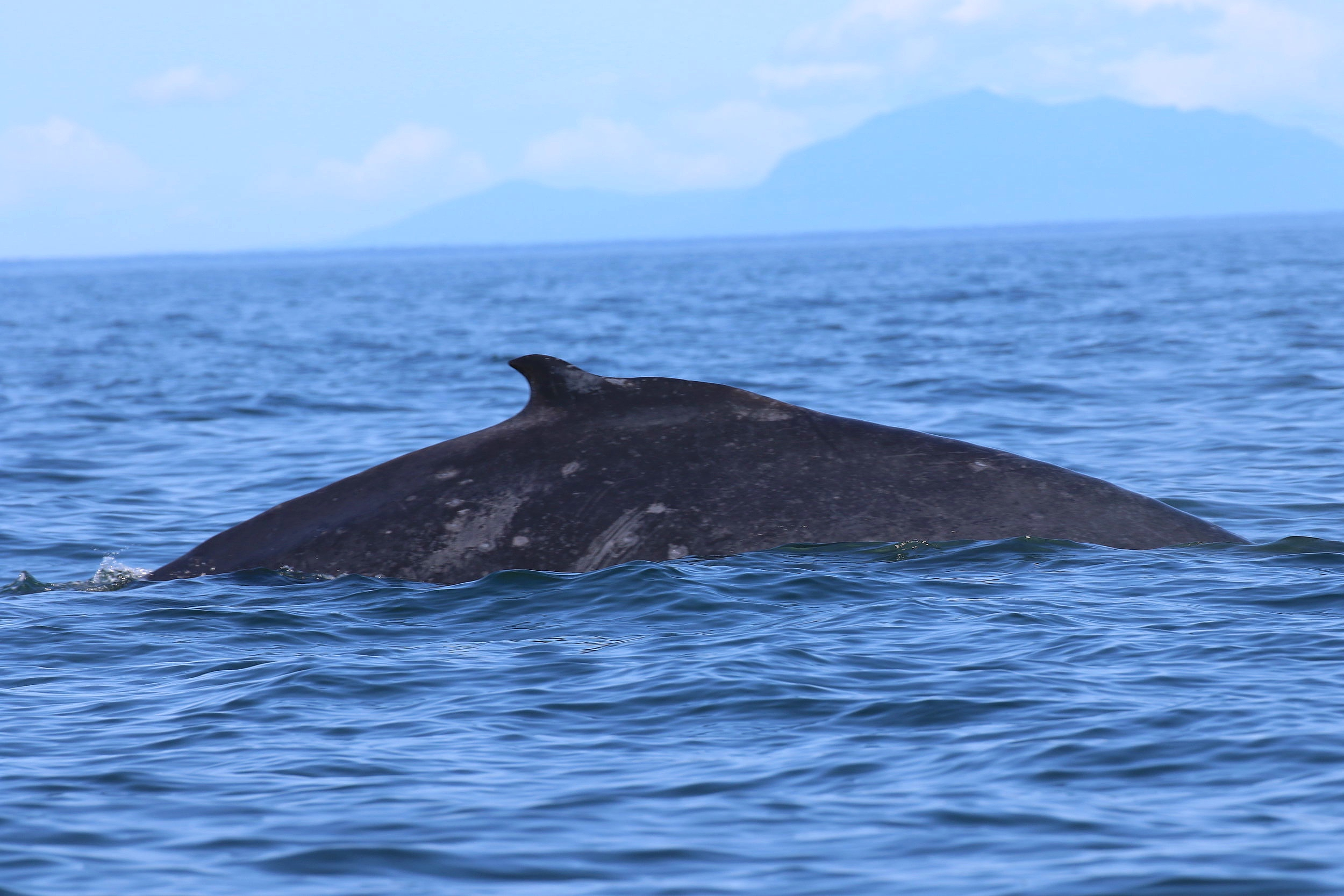 Slate has a slight back facing curve to her dorsal fin. Photo by Rebeka Pirker (10.30)