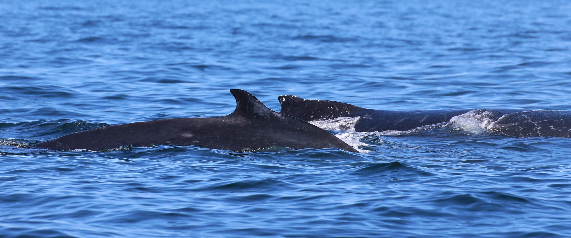 Slate in the front, her calf in the back. Photo by Rebeka Pirker (10.30)