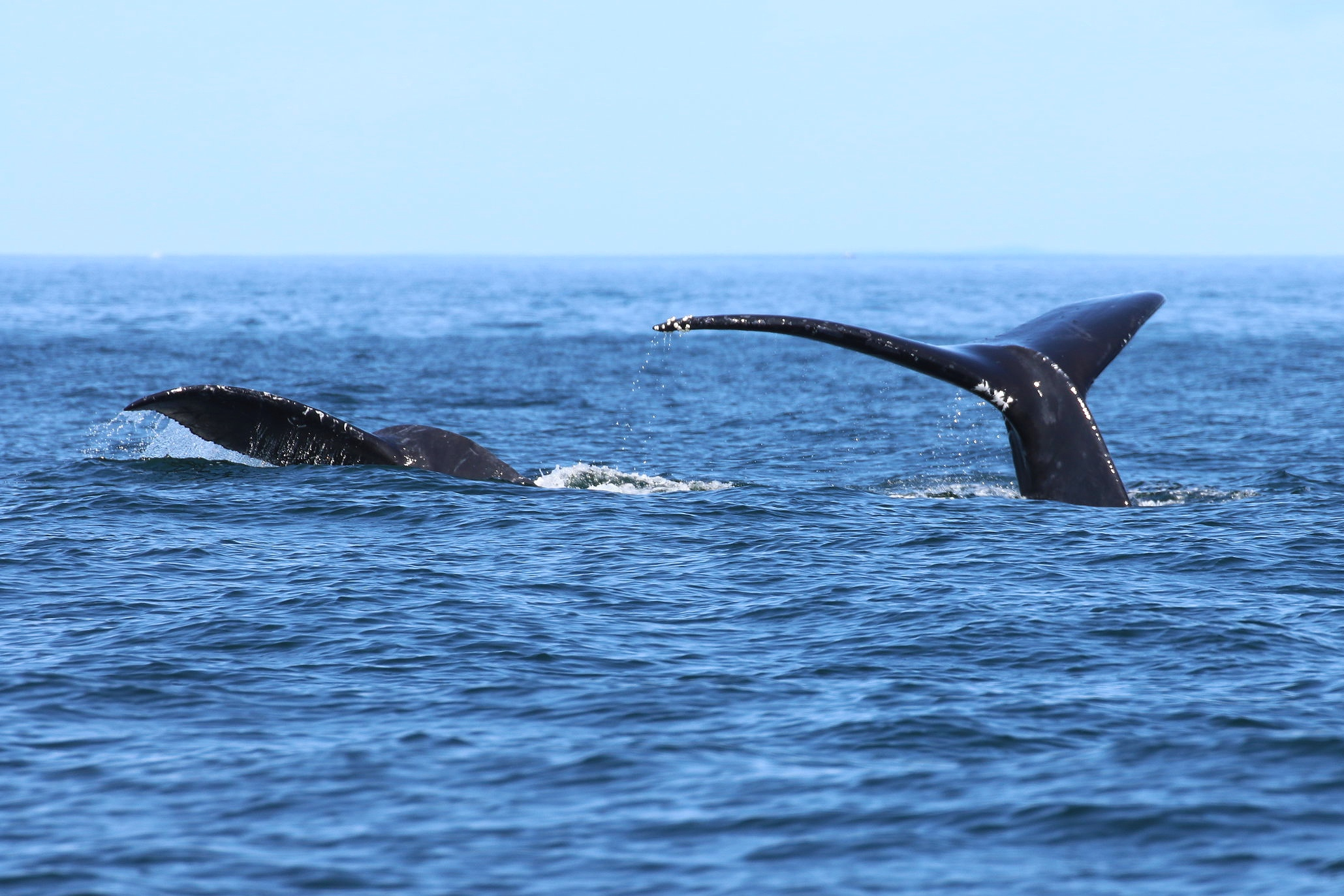 Slate (right) and calf (right) heading for a deep dive! photo by Rebeka Pirker (10.30)