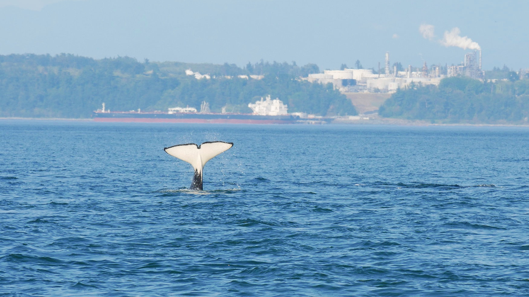 T65A6 showing off her tail! Photo by Rebeka Pirker (3.30)