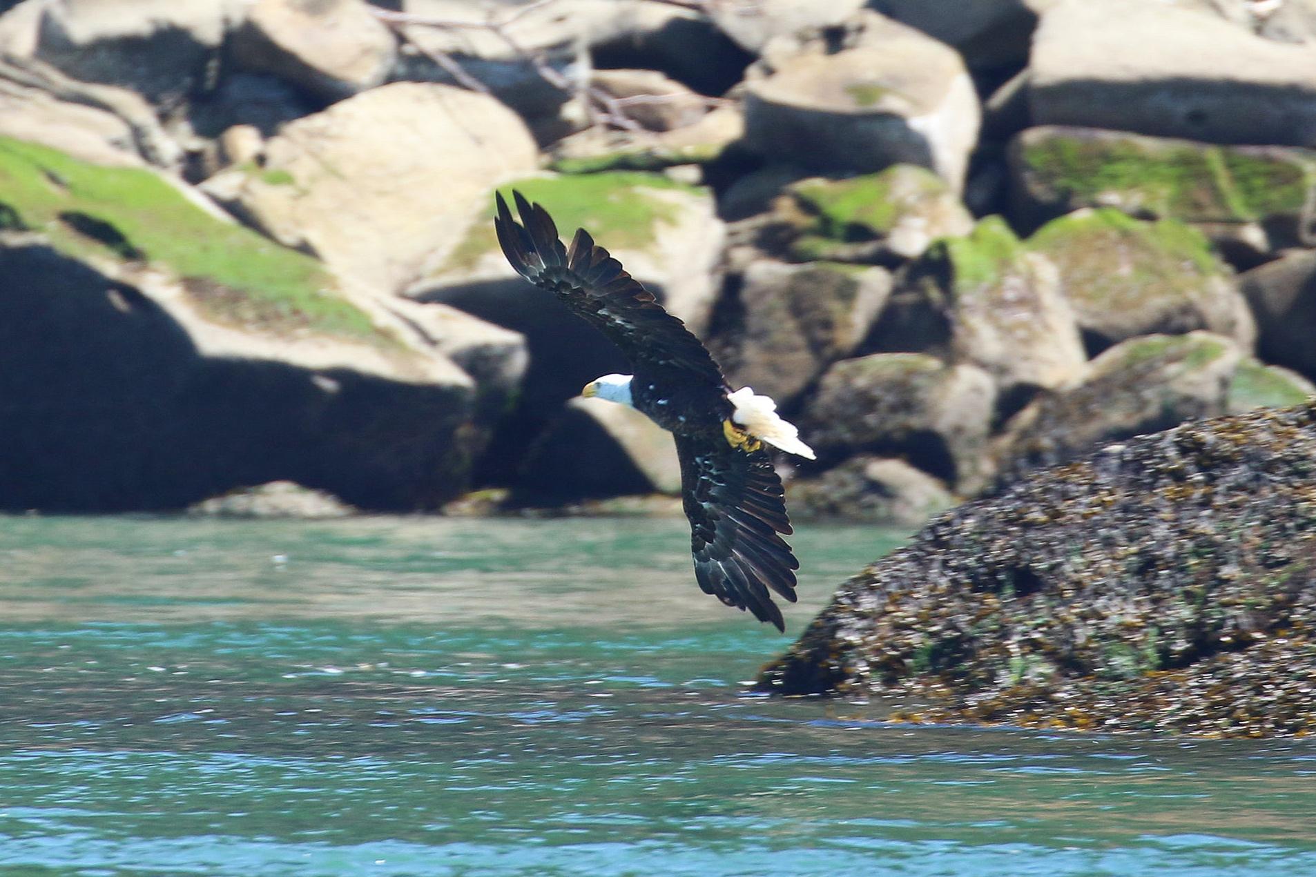 A gorgeous soaring eagle. Photo by Rebeka Pirker (10:30).