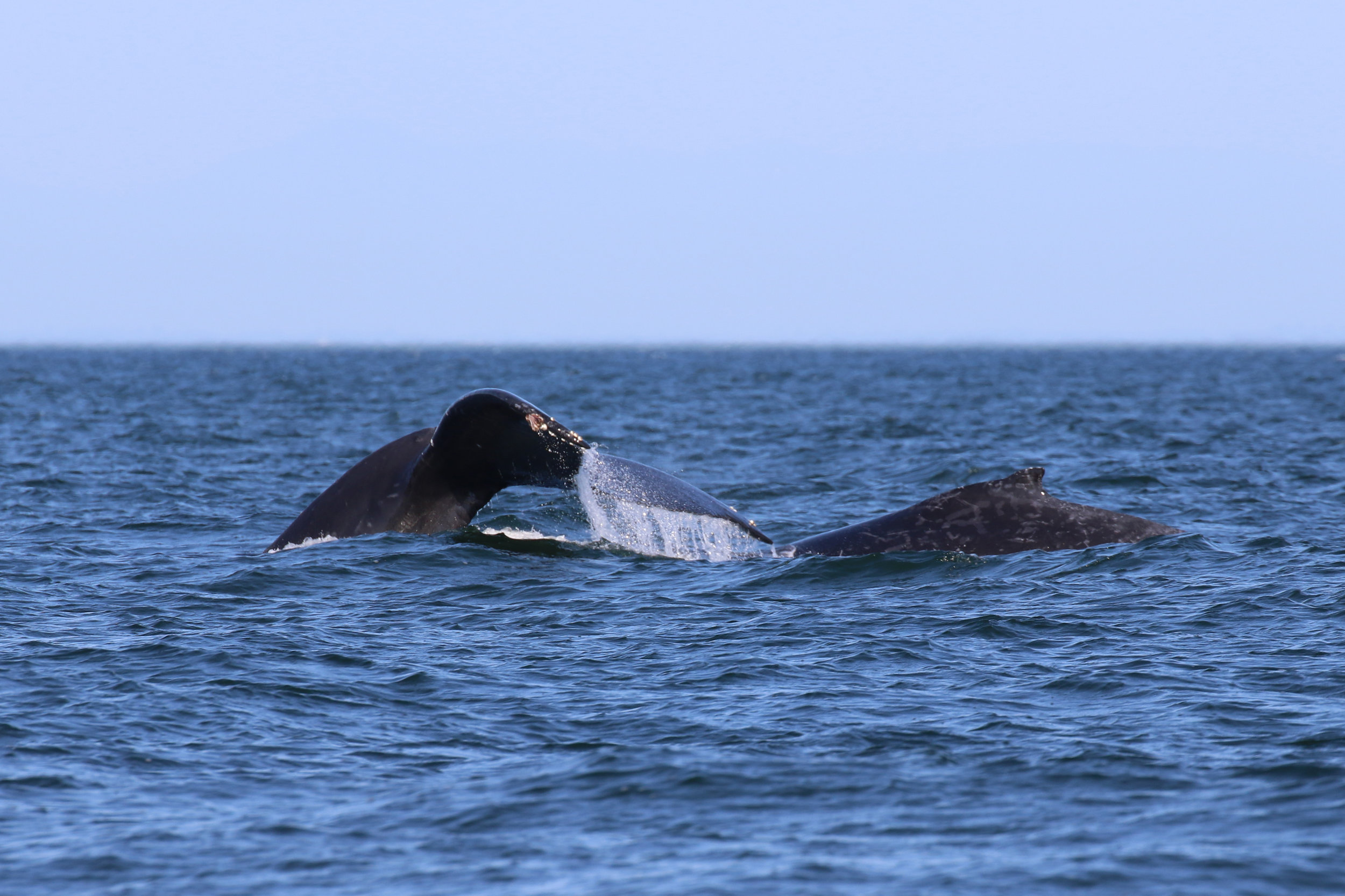 Humpback diving time! Photo by Val Watson (3:30).