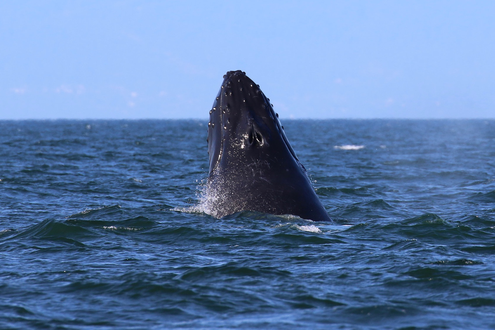 Great shot of some tubercles on this humpback! Photo by Val Watson (3:30).