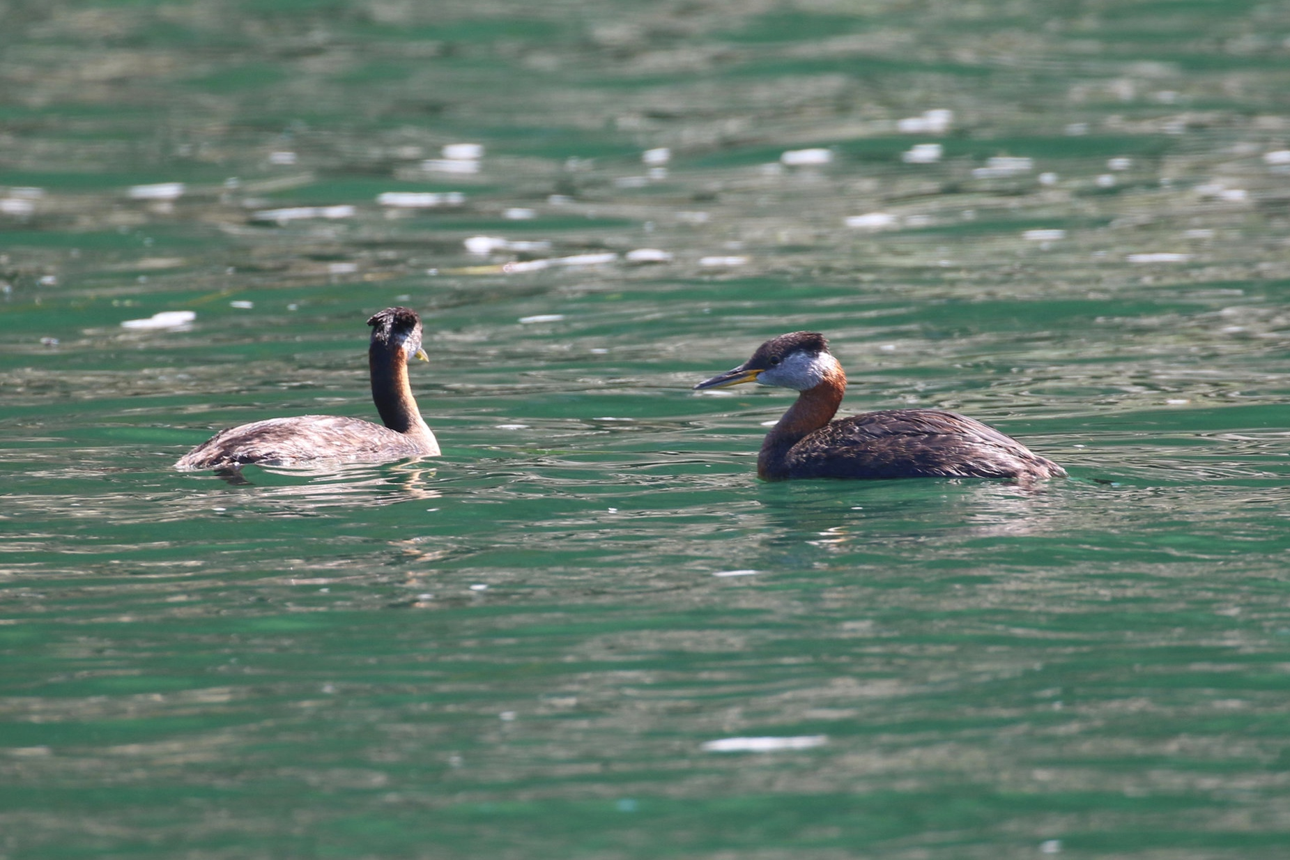 A pair of Red-necked Grebes. Photo by Rebeka Pirker (10:30).