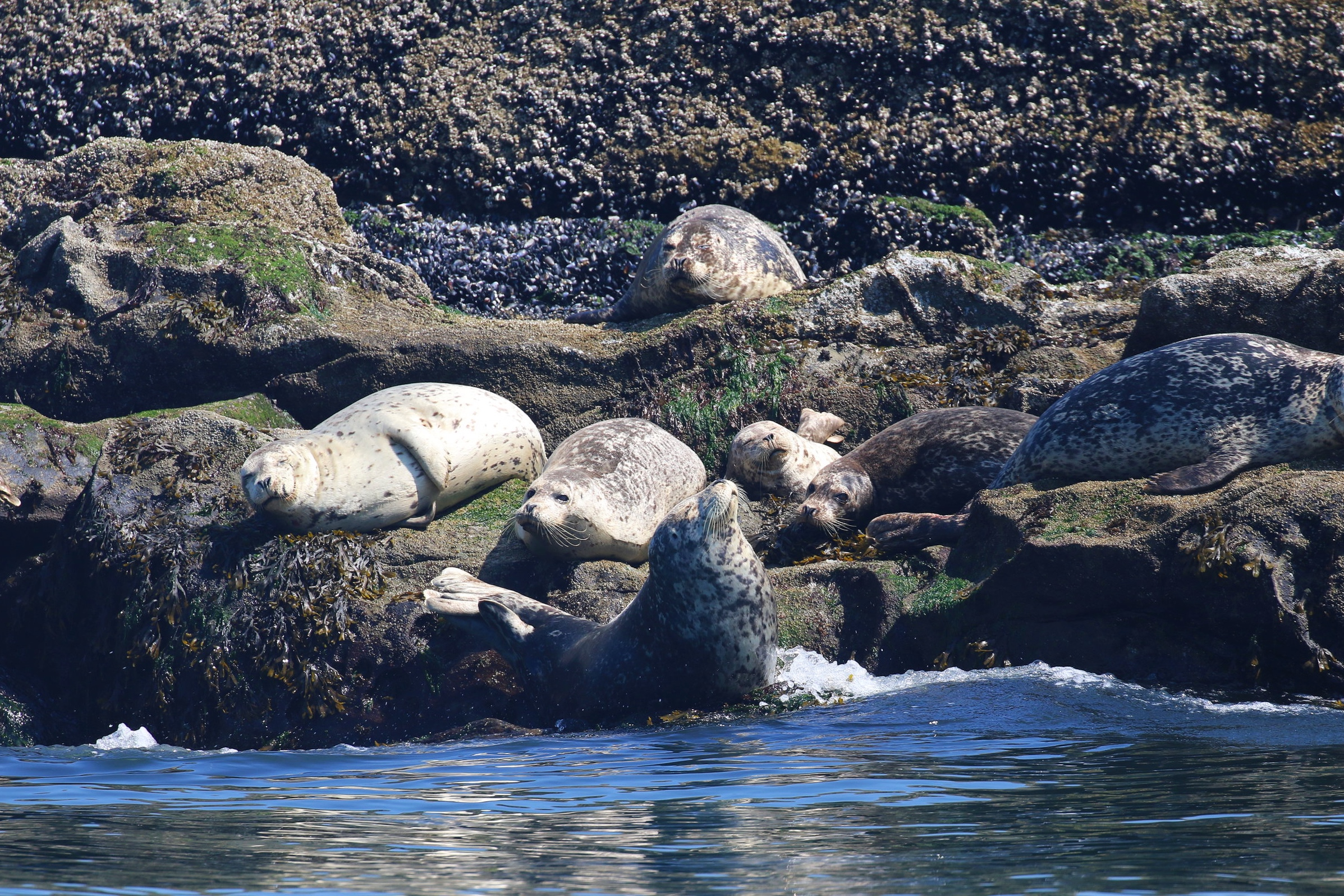 Harbour seals sunning themselves on the rocks, being the glorious rock sausages that they are. Photo by Rebeka Pirker (10:30).